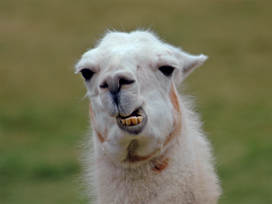 47] Llama Desktop Wallpaper on WallpaperSafari 1152x864