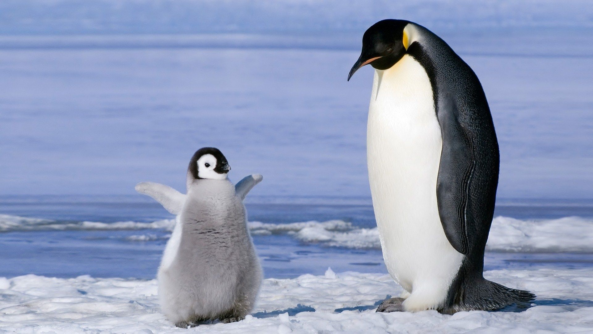 Emperor Penguin and Chick Wallpaper Penguin HD Wallpapers 1920x1080