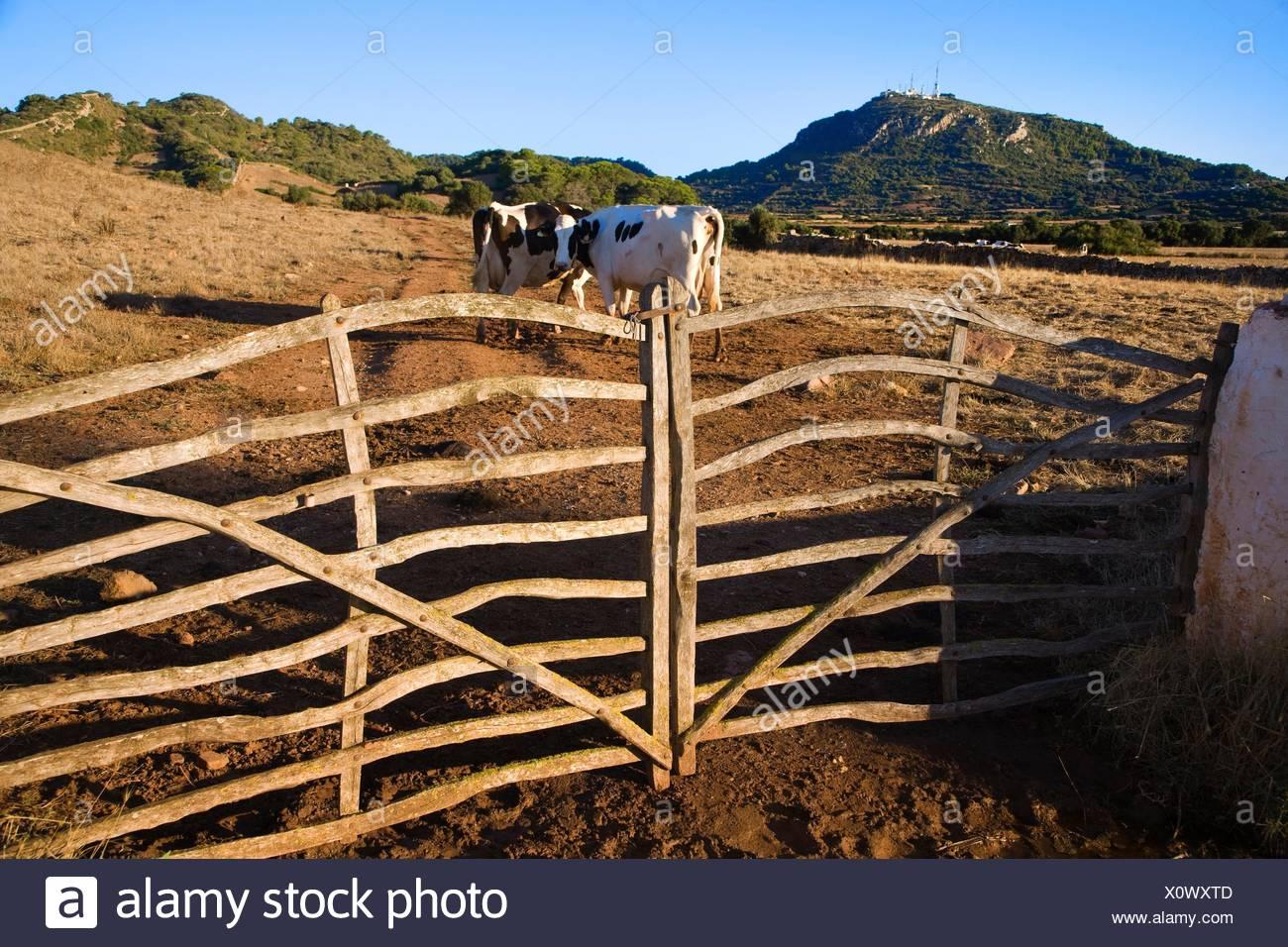 Cows in Cami den Kane Monte Toro in background Menorca 1300x956