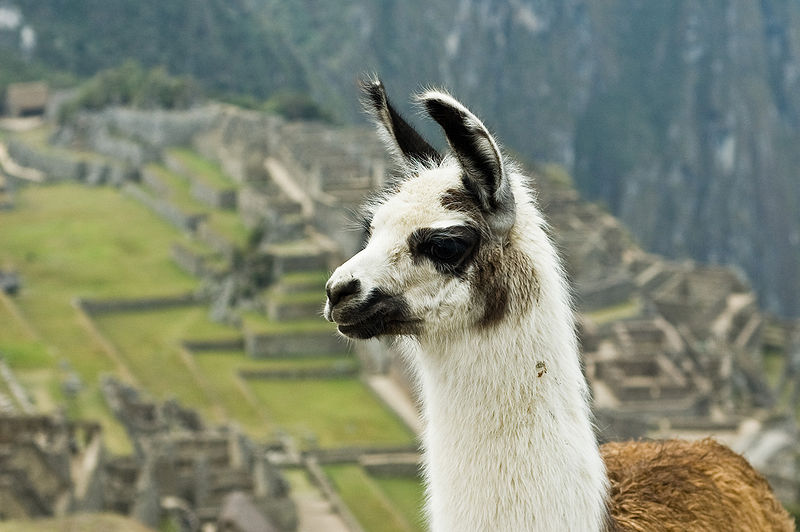 Llama Pictures Wallpapers   Wallpaper 1 of 8 800x532