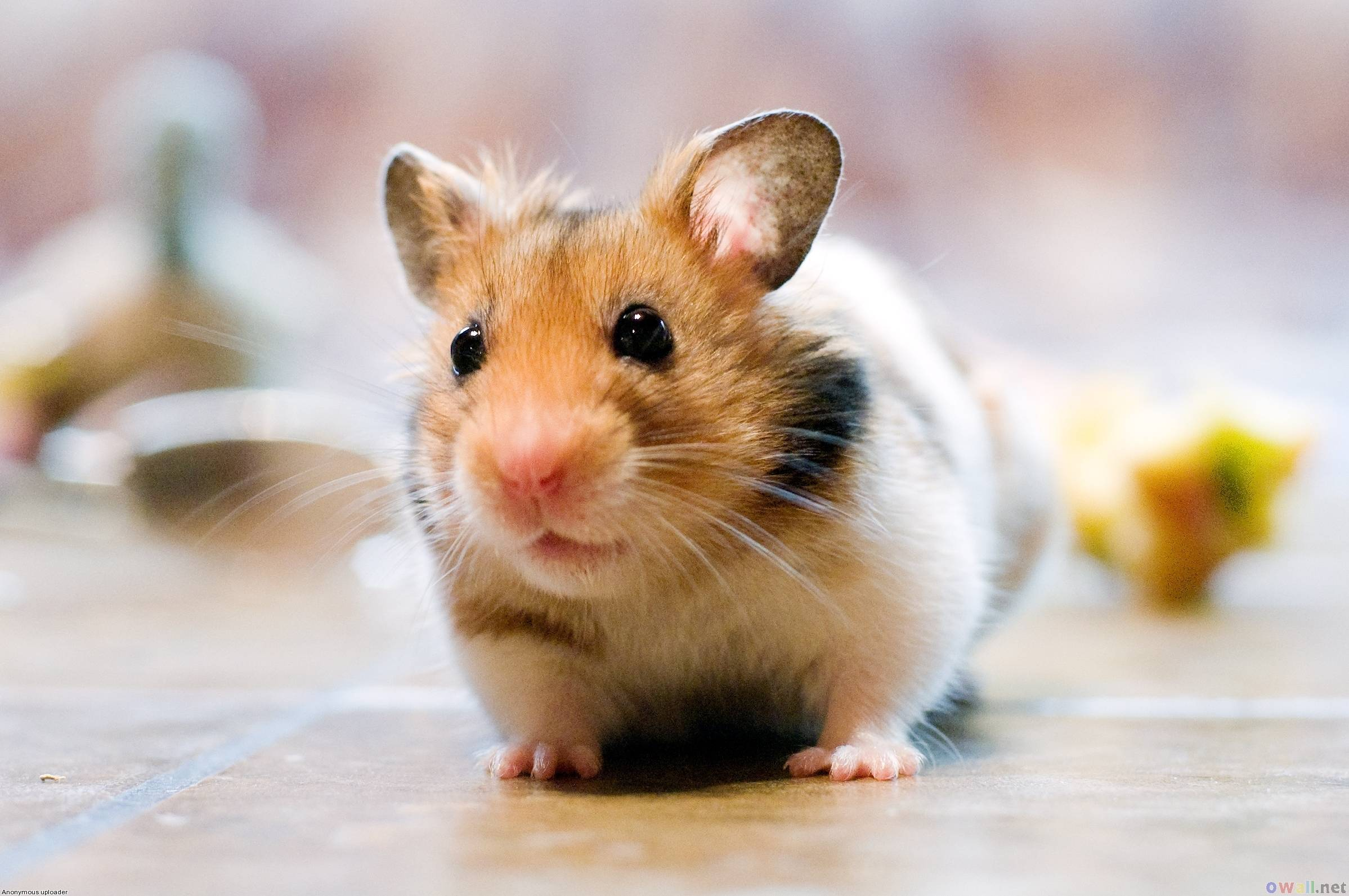 Cute Hamster Wallpapers 2397x1593