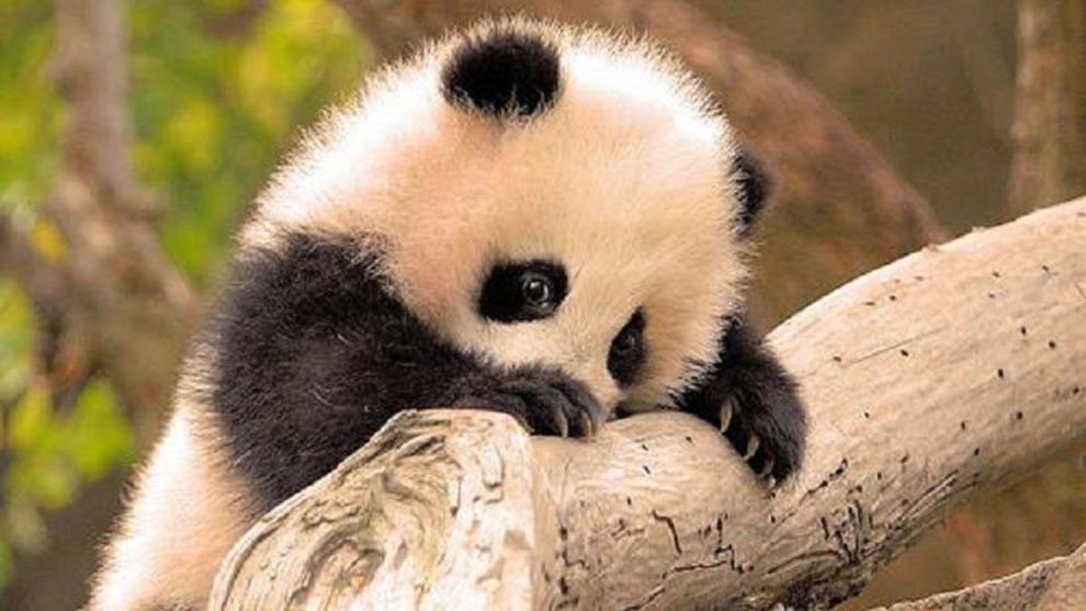panda The Smithsonian has recordings so you can listen to the panda 990x557