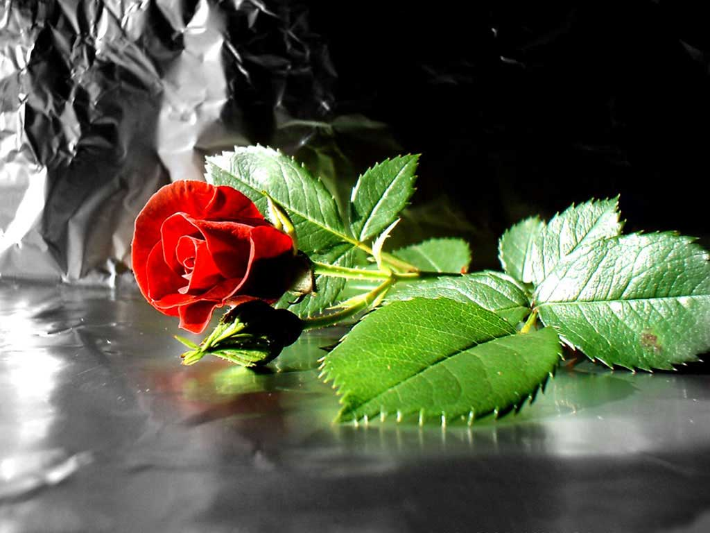 red rose flower desktop computer wallpaperjpg 1024x768