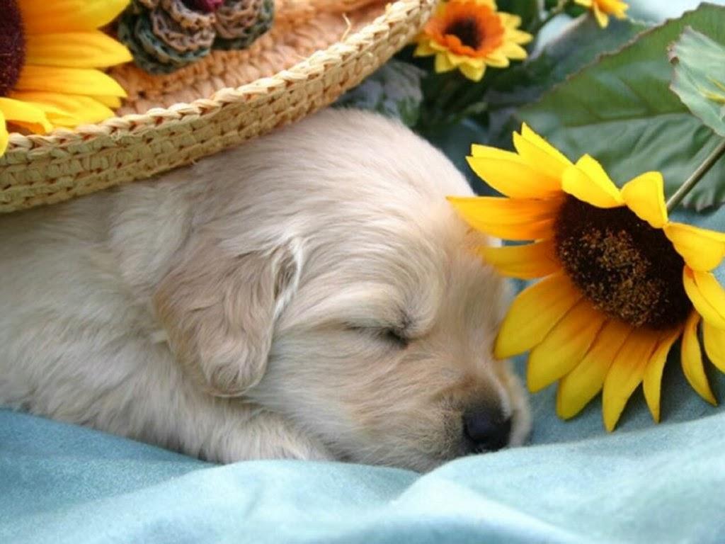 Sleeping dog wallpaper cute on pc   beautiful desktop 1024x768