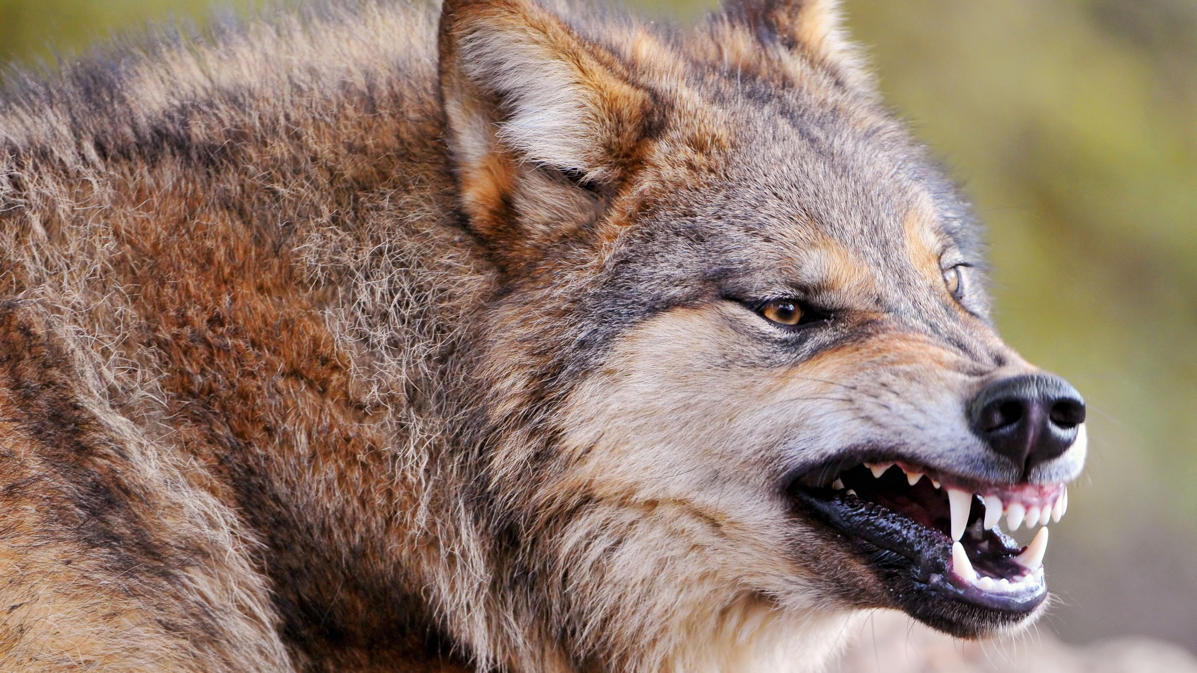 HD Wallpaper 38402160 wolf face teeth aggression predator 4K 3840x2160