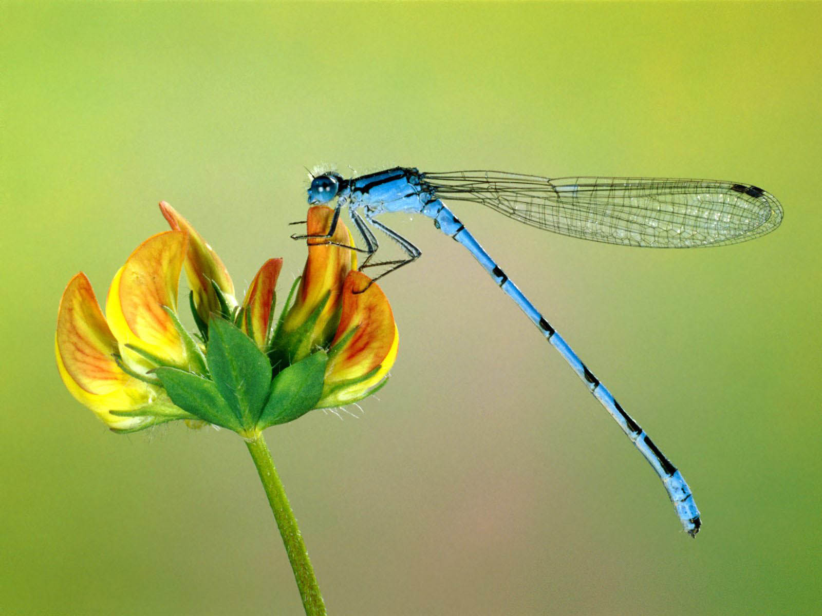 wallpapers Dragonfly Wallpapers 1600x1200