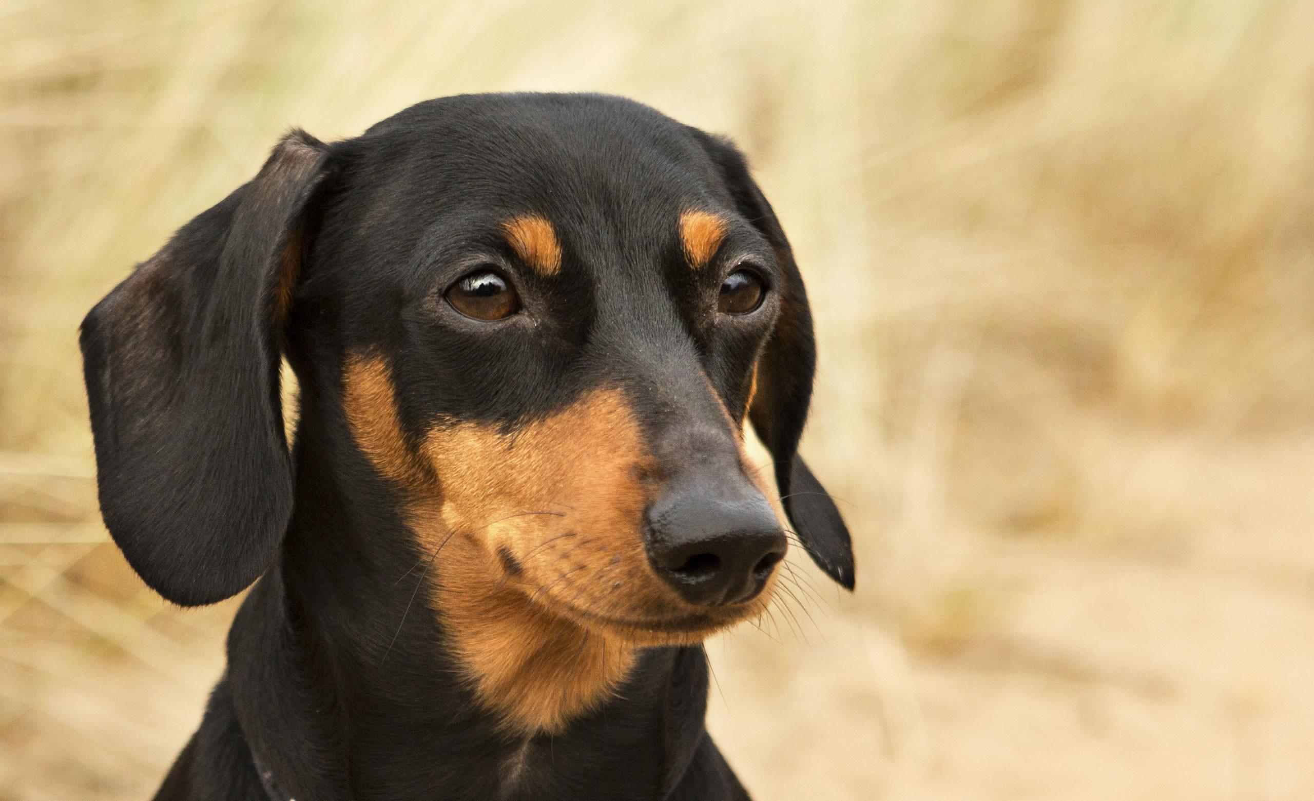 Weiner Dog Wallpaper 58 images 2560x1562