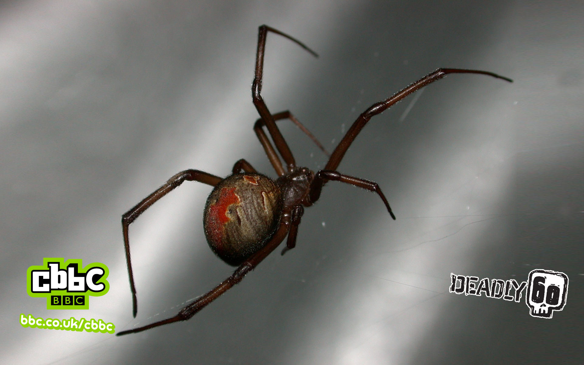 Deadly 60 Redback Spider Wallpaper 1920x1200