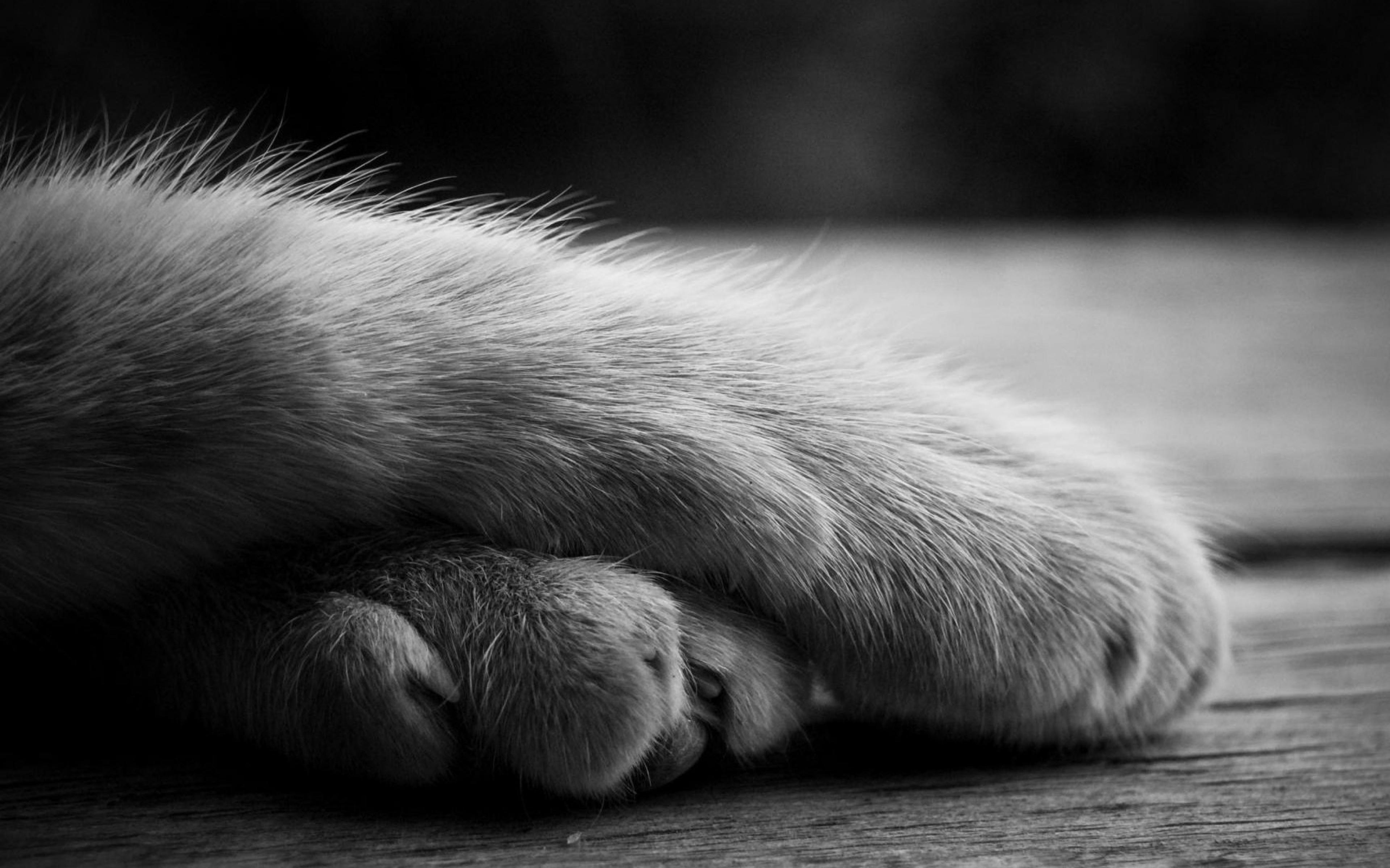 Free Download Wallpaper 3840x2400 Paws Cat Shadow Furry Black White Ultra Hd 4k 3840x2400 For Your Desktop Mobile Tablet Explore 49 4k Furry Wallpaper 3840x2160 Wallpaper 4k Hd Wallpaper