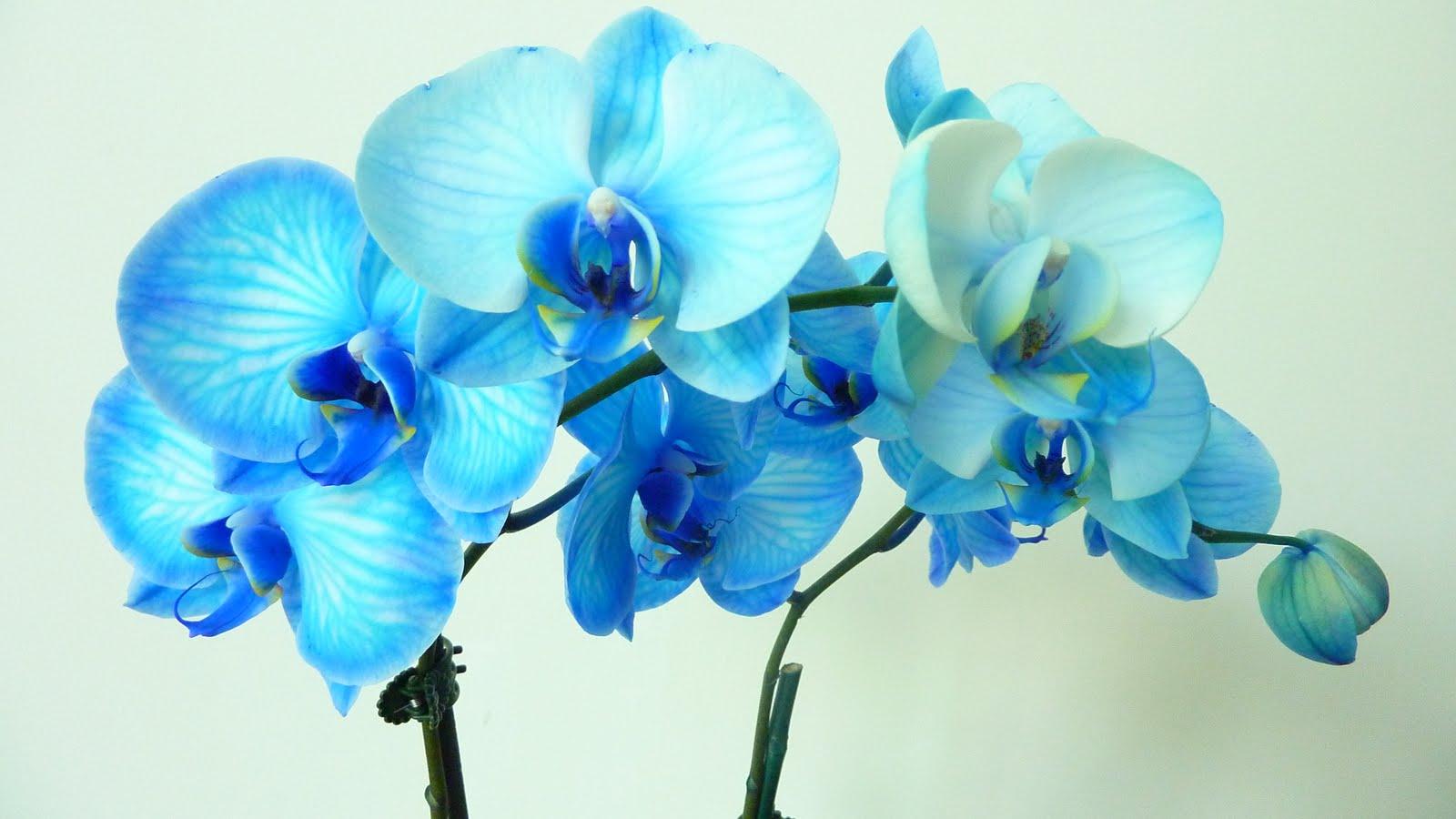 Blue Orchid Wallpaper Wallpapersafari