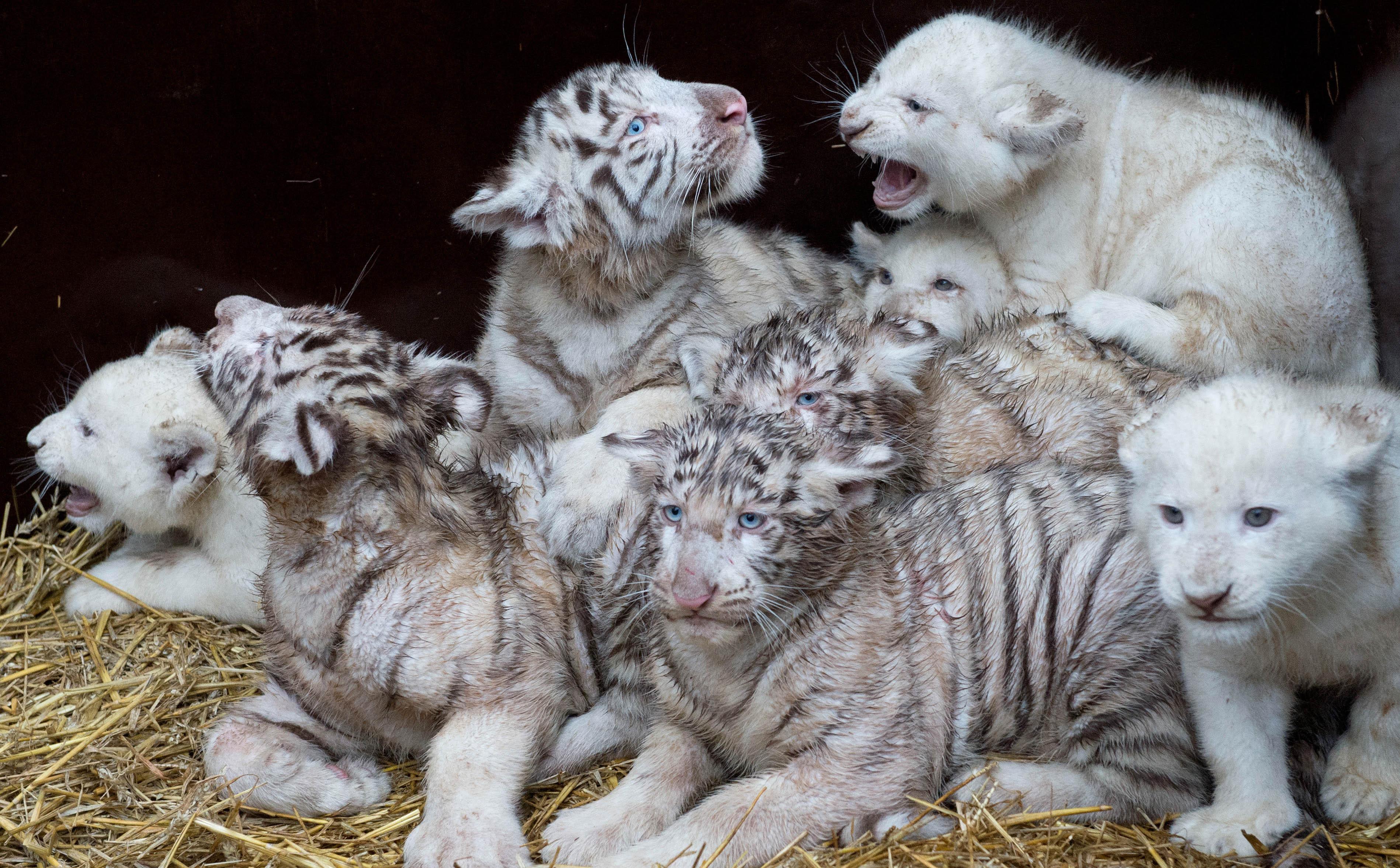 baby white tiger - HD3796×2354