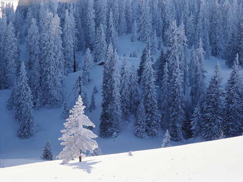 Snow Trees Desktop Wallpaper 224 Nature Beauty Wallpapers 800x600