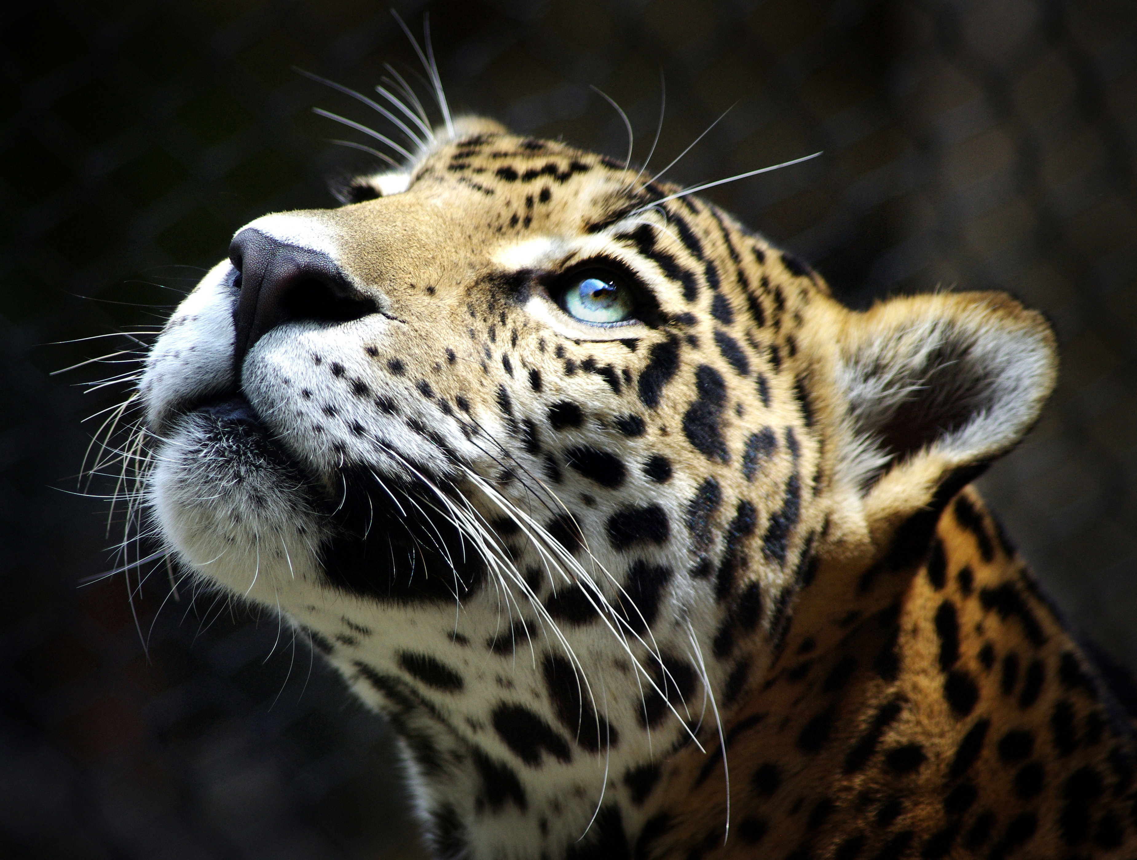 603 Leopard HD Wallpapers Backgrounds   Page 8 3700x2800