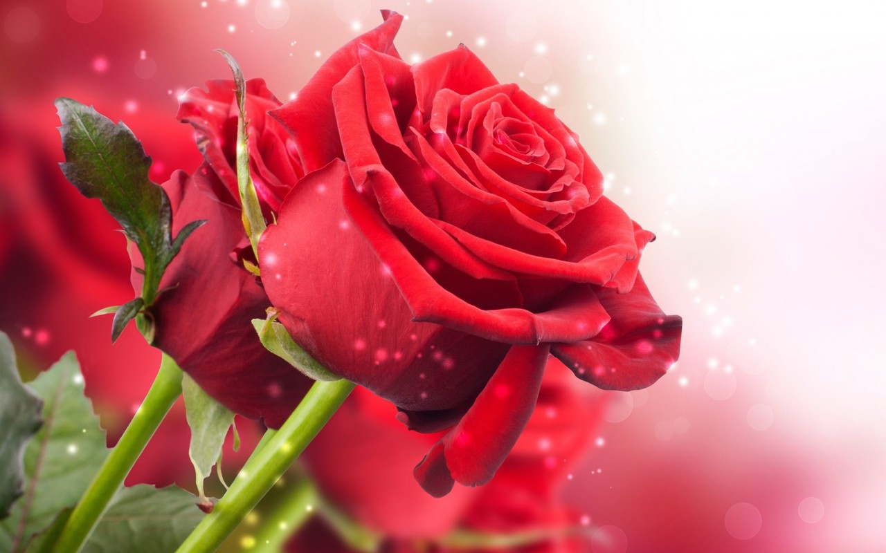 Wallpaper Name Red Rose HD Wallpaper Download Tags Red Rose HD 1280x800