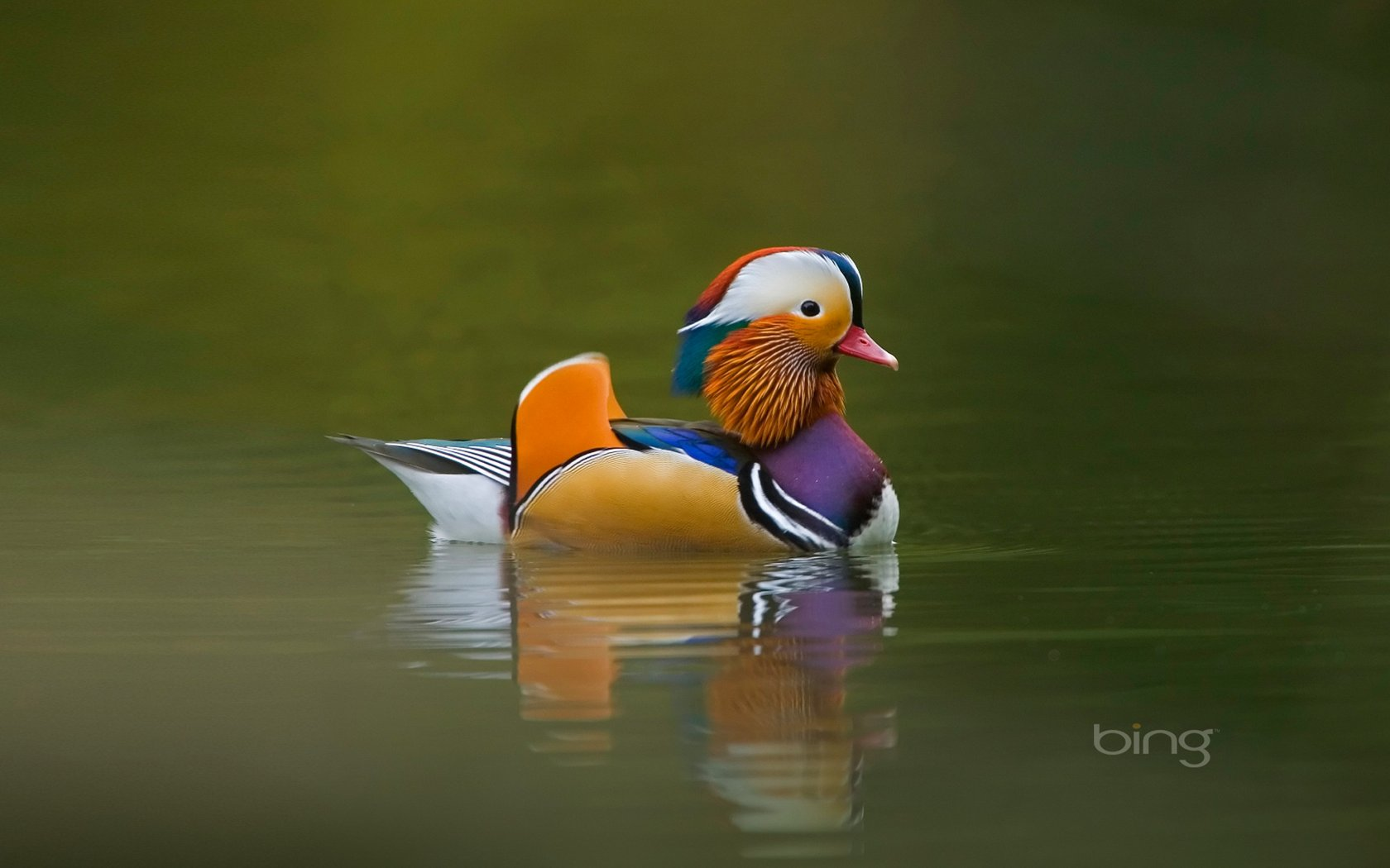 Love in the Mandarin Duck bird wallpaper 18529   Animal 1680x1050