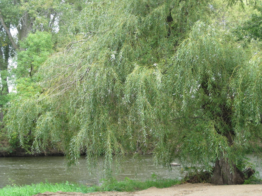 Weeping Willow Tree Wallpaper Weeping willow tree by 900x675