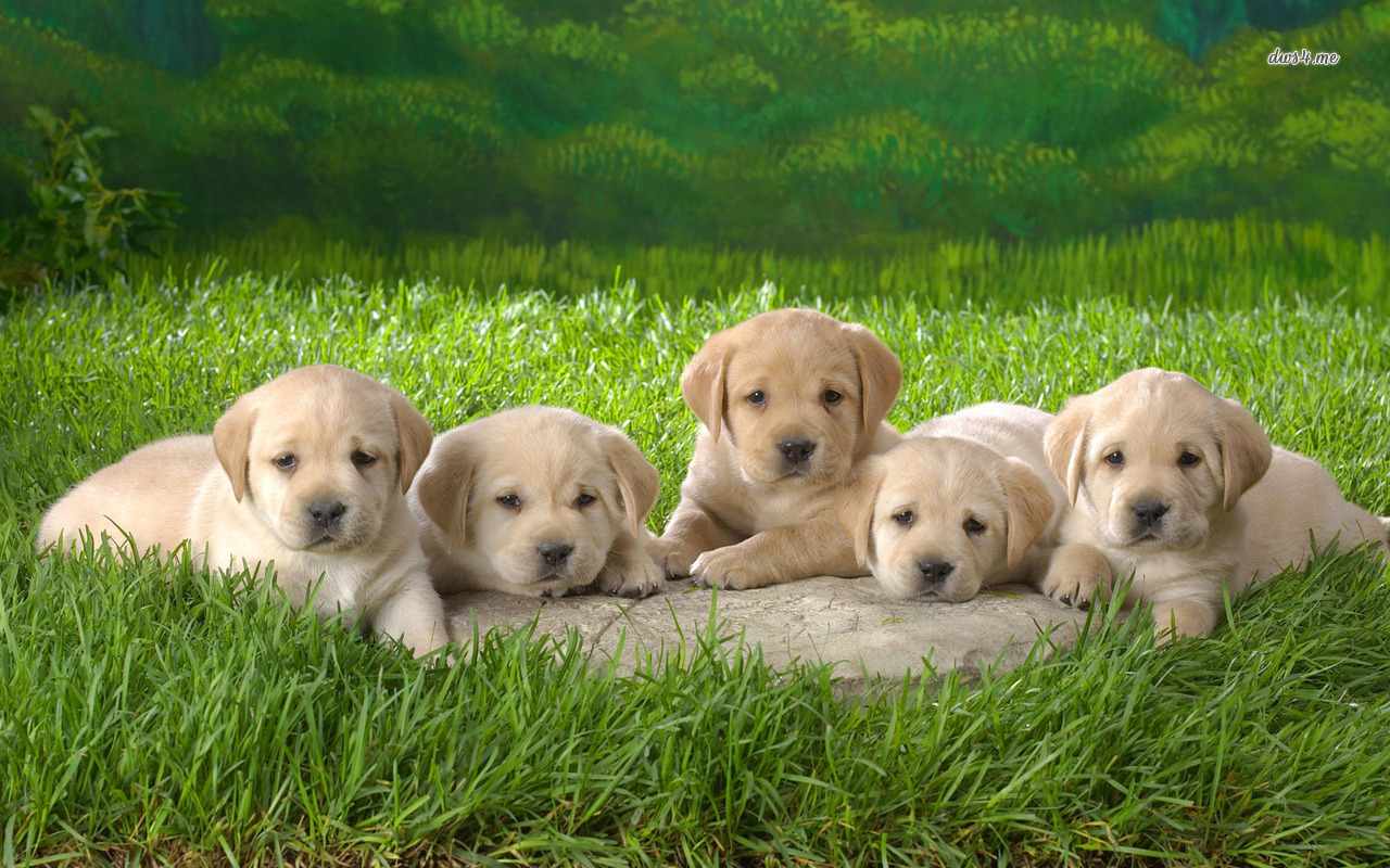 Labrador Retriever Wallpapers For Desktop   The Dog Wallpaper   Best 1280x800