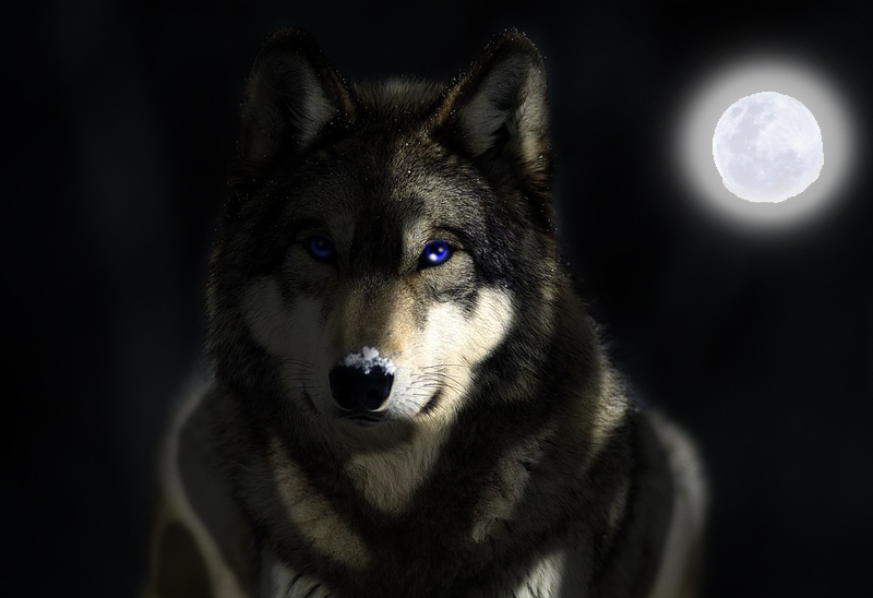 GreyWolf wallpaper by firedragonart on deviantART 800x548