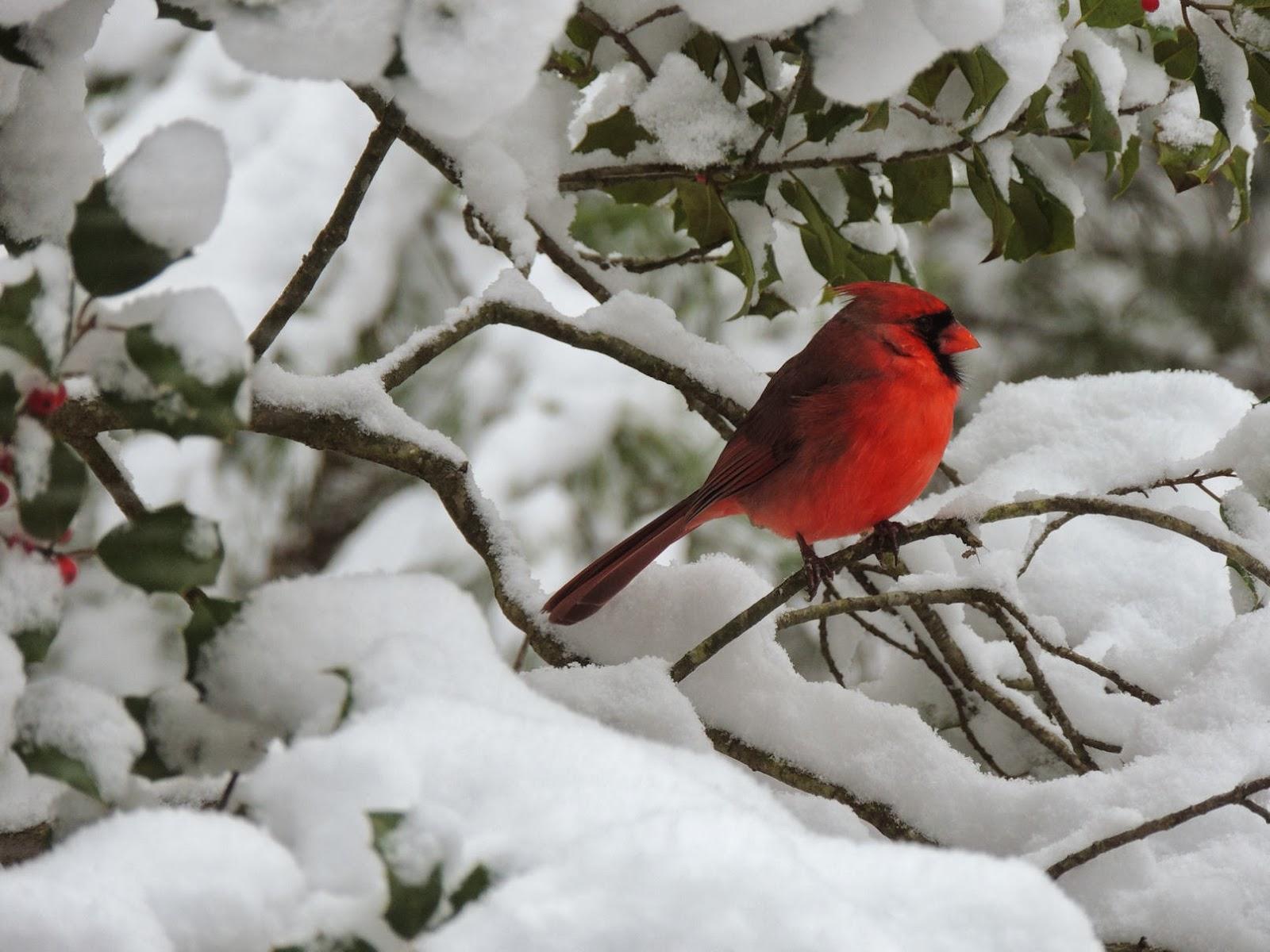 Cardinals in snow wallpaper wallpapersafari - Winter cardinal wallpaper ...