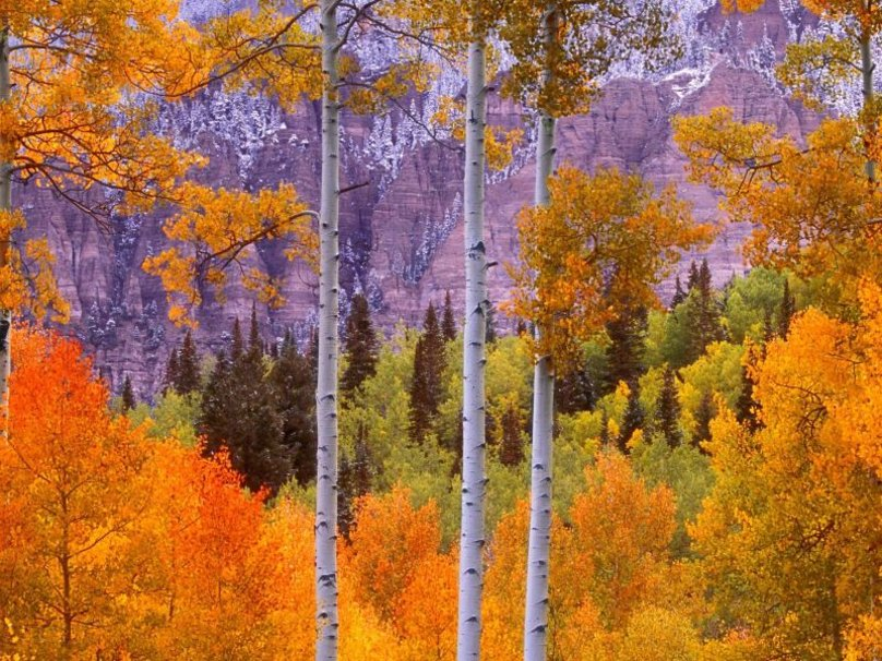 Aspen Tree Wallpaper For Home Wallpapersafari