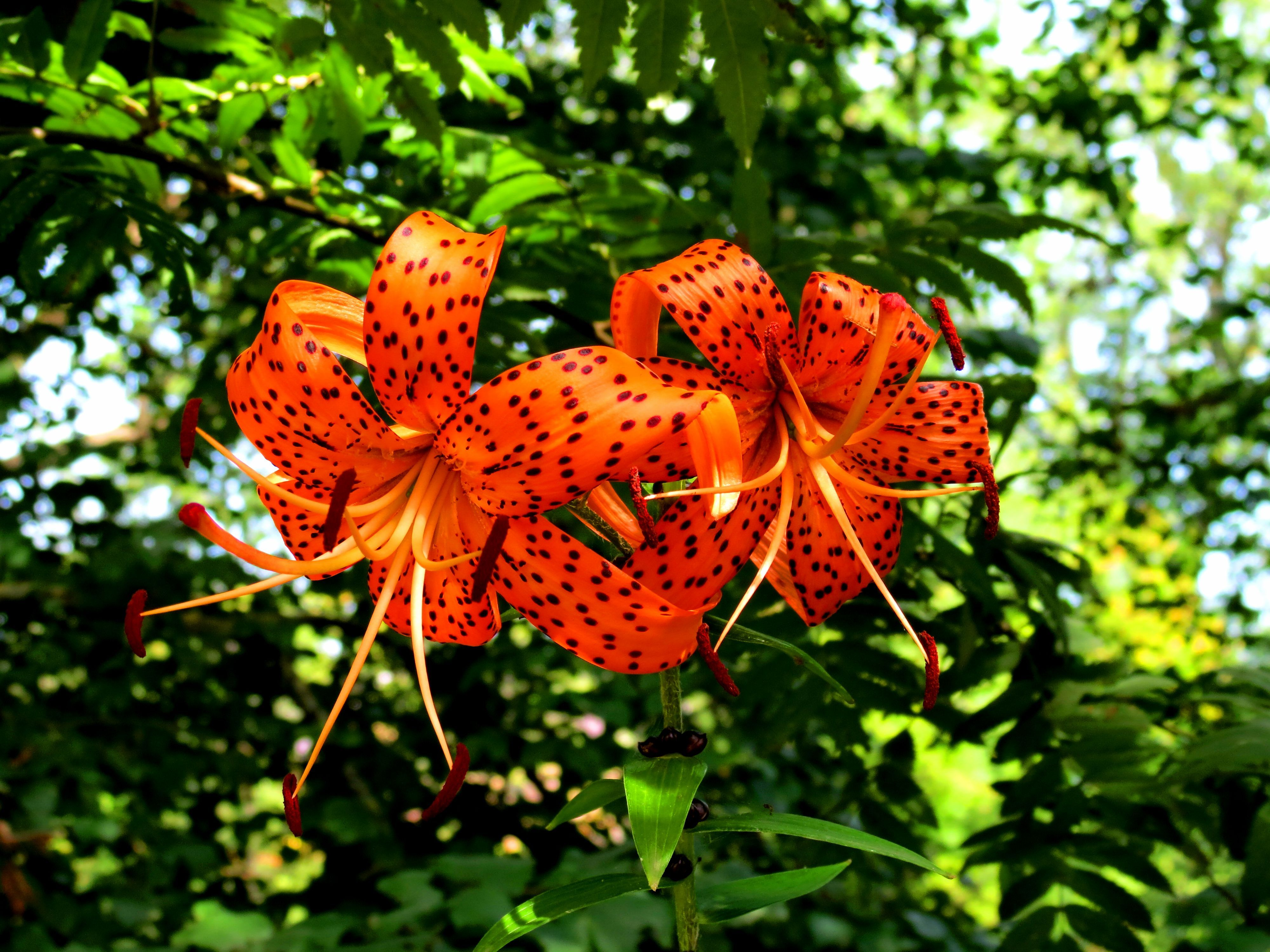 Wallpaper wallpaper summer bushes tiger lily wallpapers flowers 4000x3000