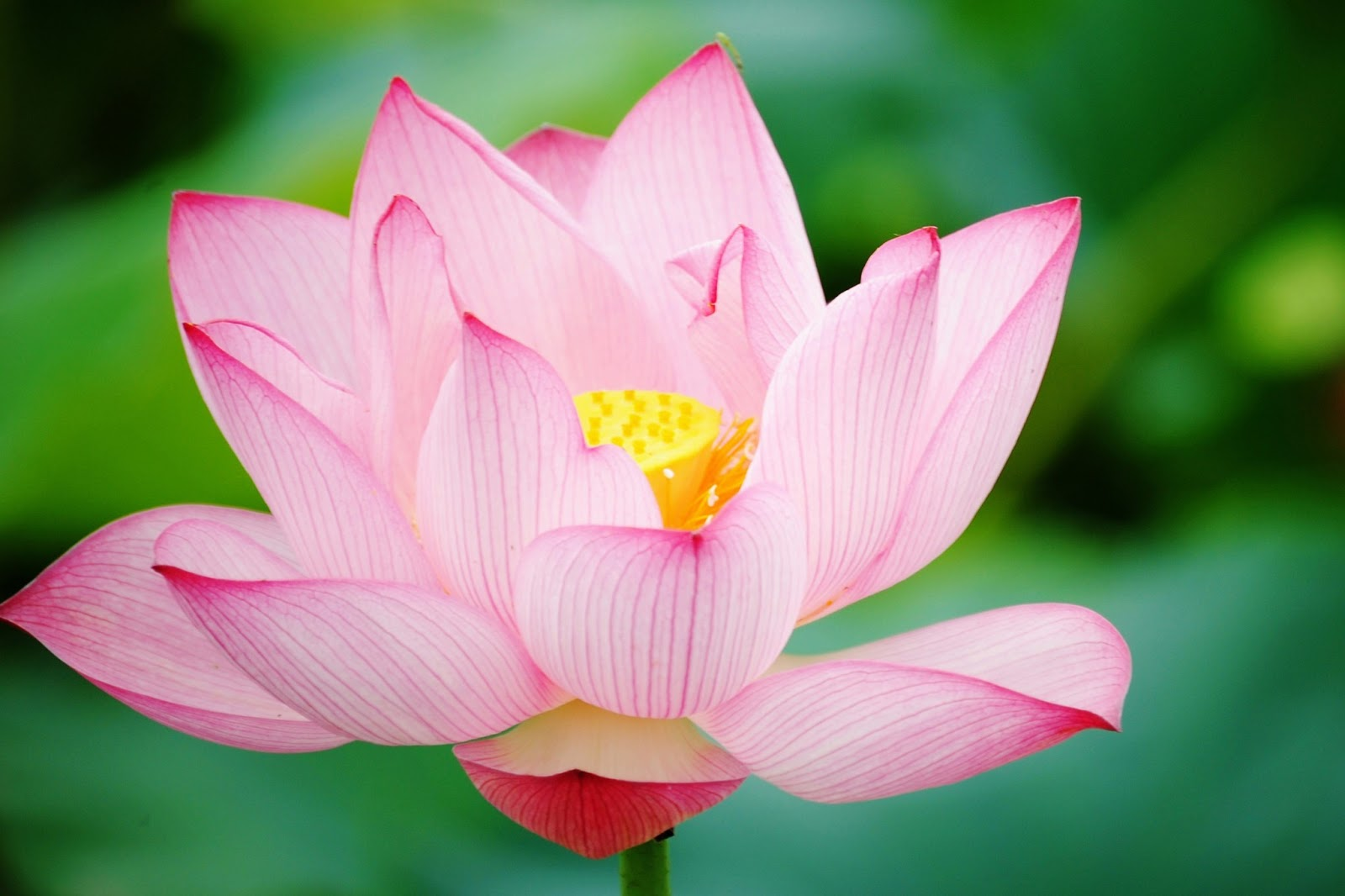 Download Lotus Flower Hd Wallpapers Hd Wallpapers High Definition