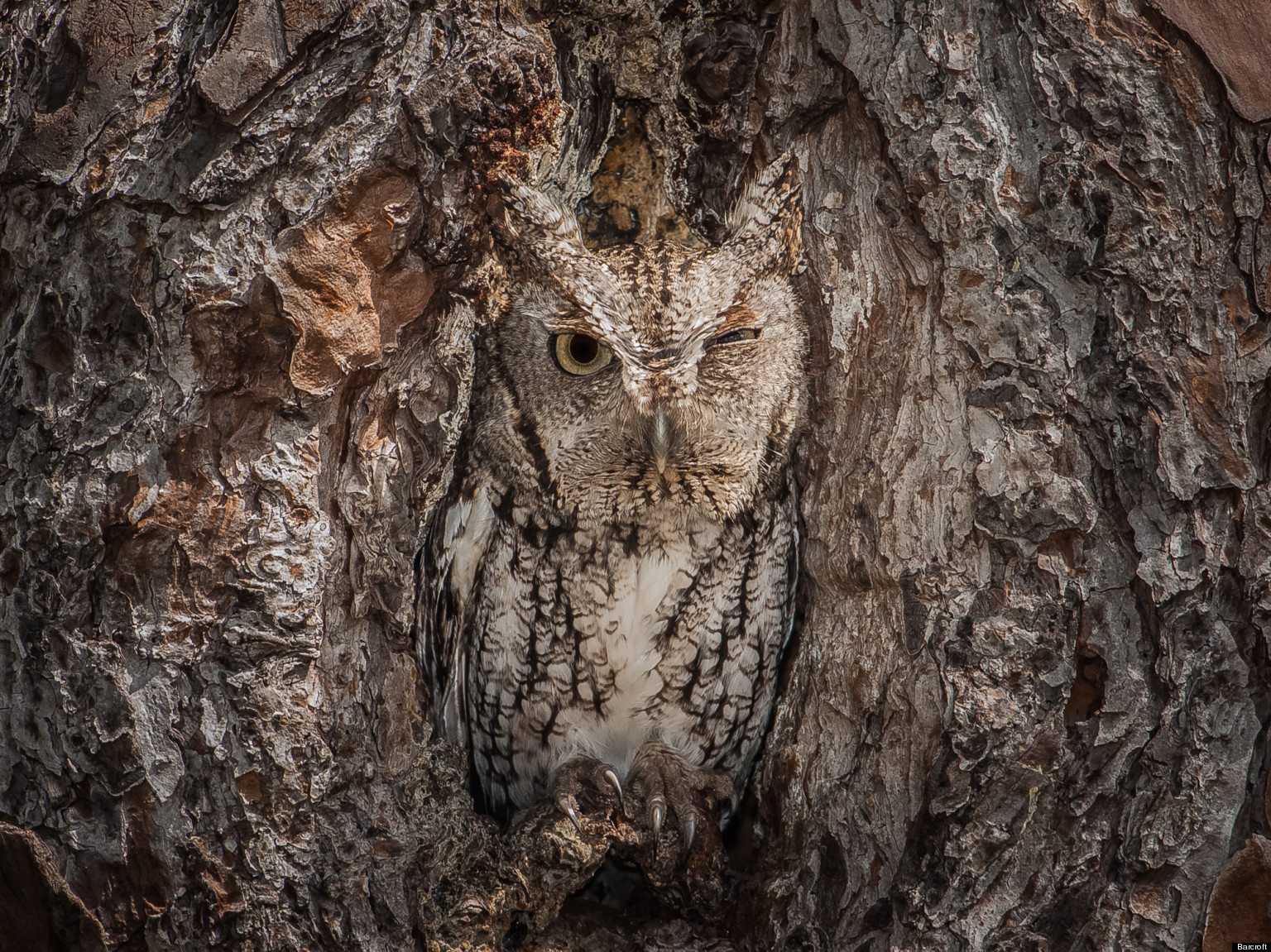Eastern Screech Owl Is Perfectly Camouflaged In Georgia Forest 1536x1151