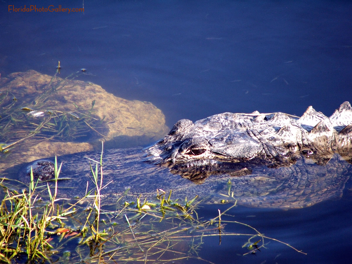 Alligator close up image 1200x900