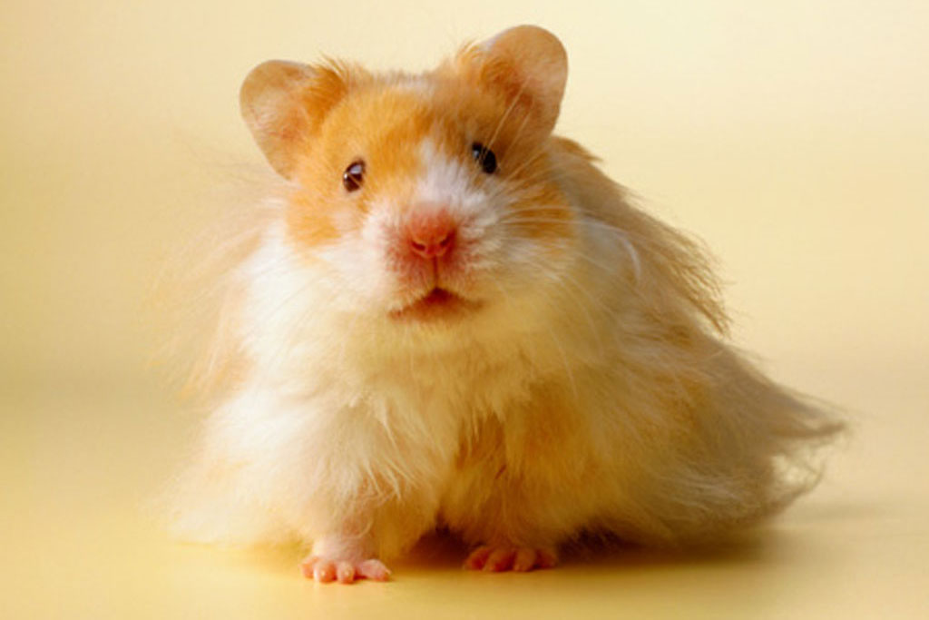 Cute Hamster Desktop Wallpaper Cute Hamster Photo Background 1024x683