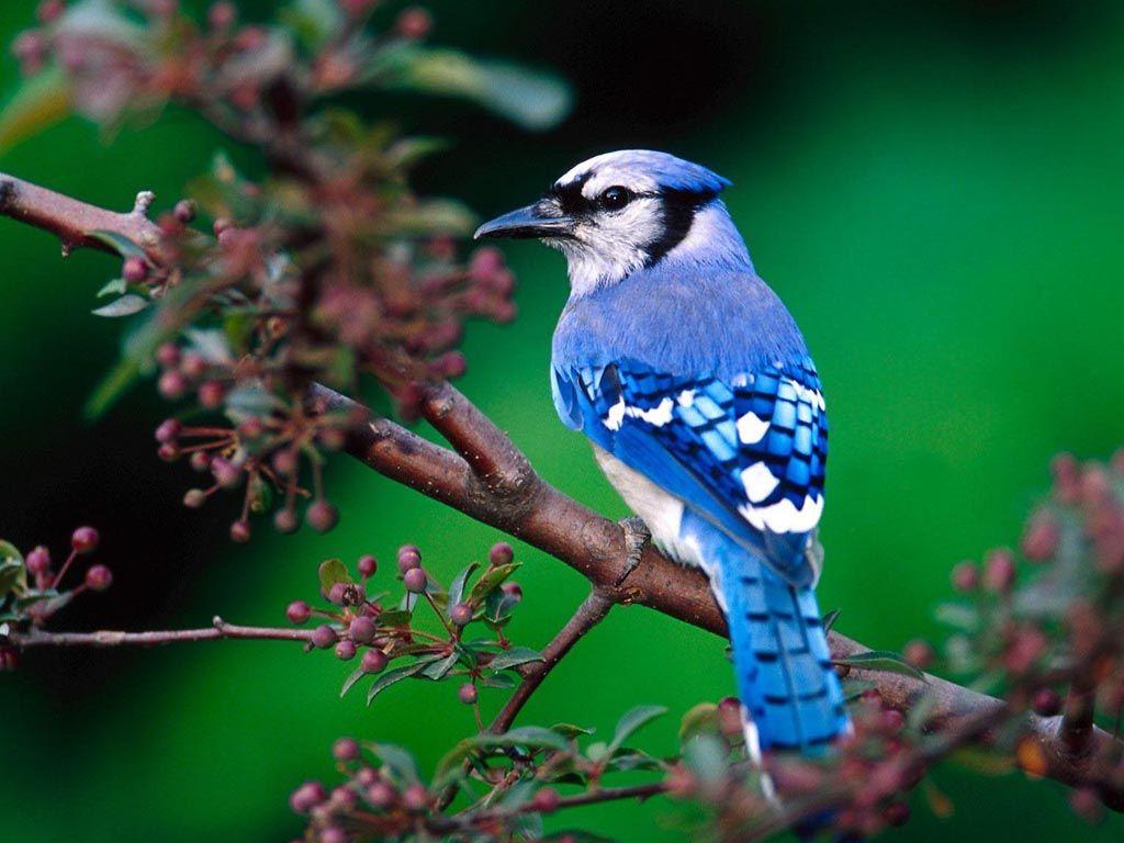 Blue Bird On Tree Branch Wallpaper 1024768   Birds Wallpapers 1024x768