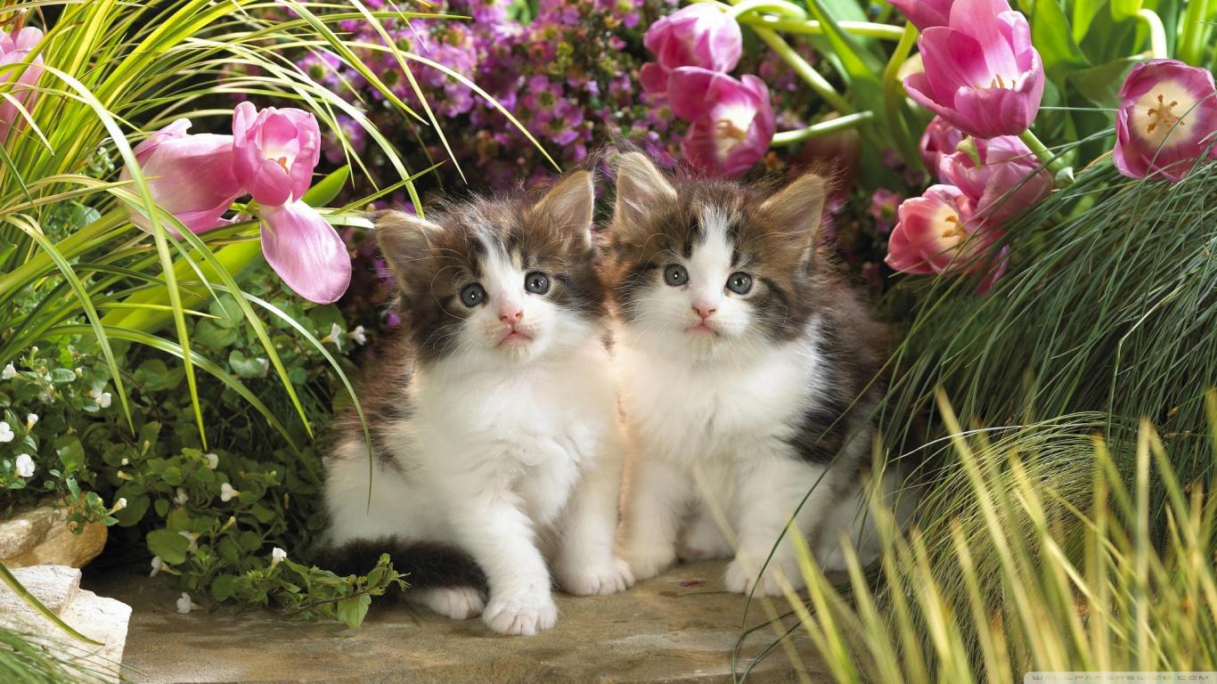 free kitten cat desktop wallpaper download kitten cat wallpaper 1366x768