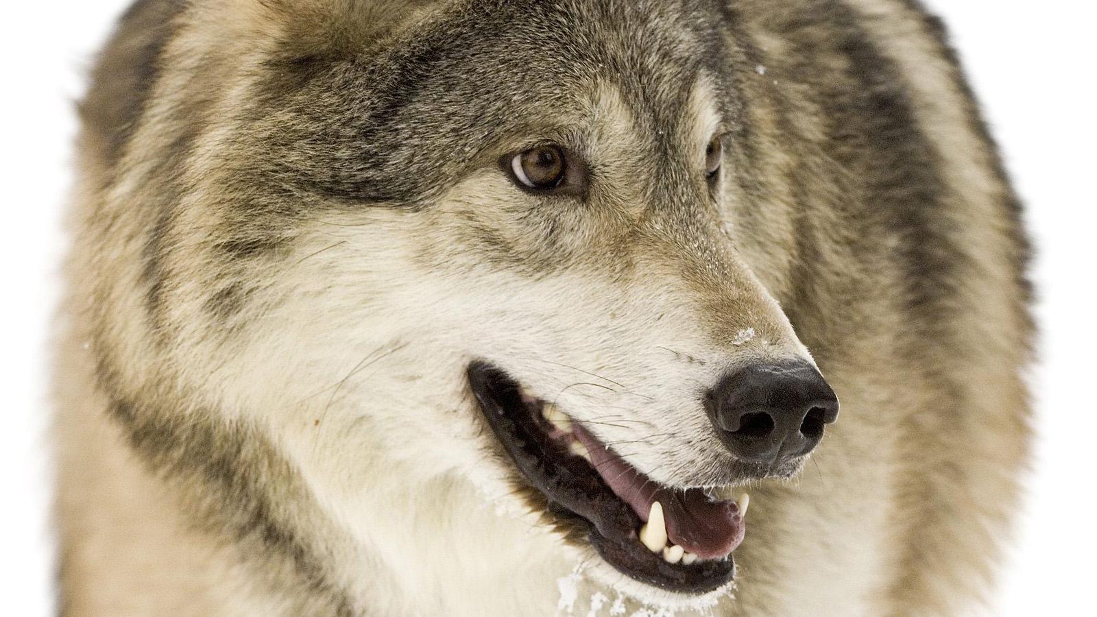 live wolf wallpaper desktop hd lone wolf picture desktop hd lone wolf 1600x900