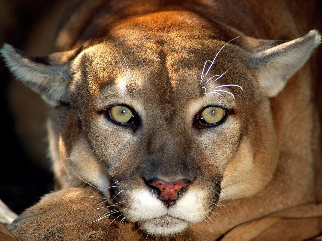 Free Download Mountain Lion Hd Wallpapers For Iphone 5 Lion