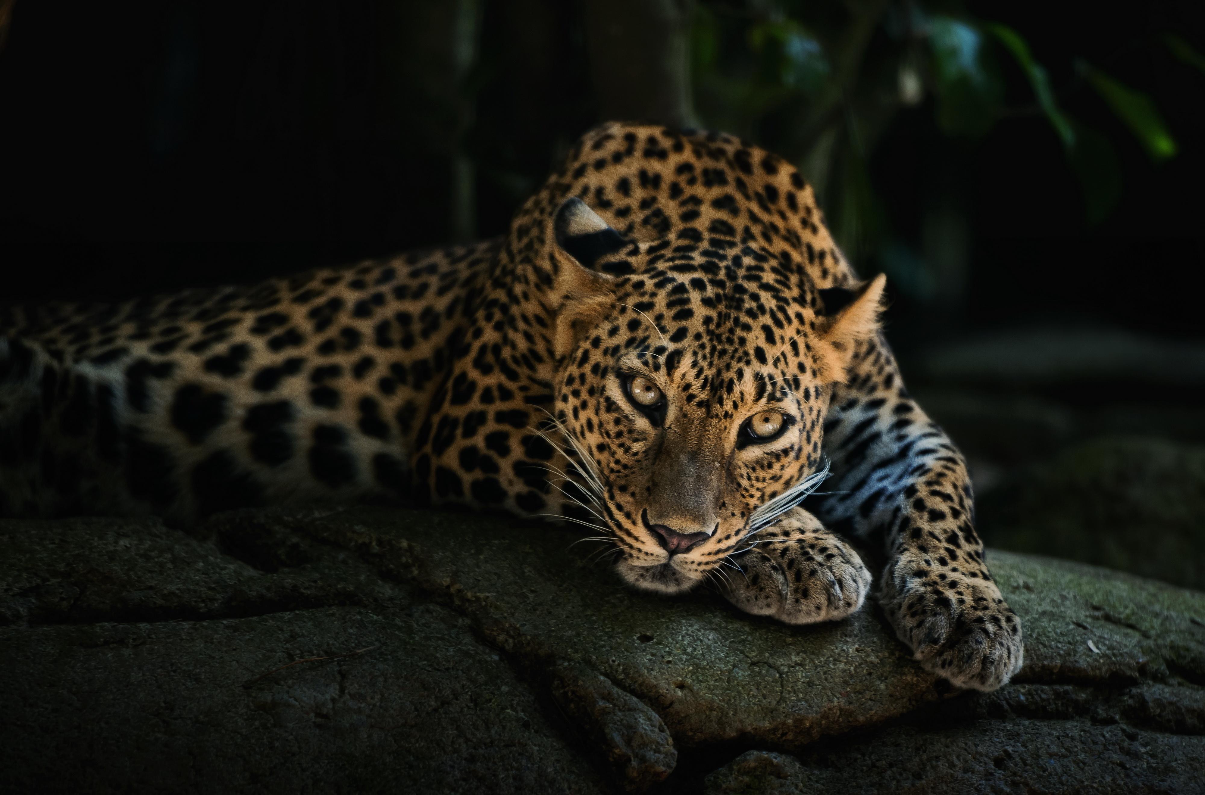 Leopard HD Wallpaper High Resolution 4000x2640