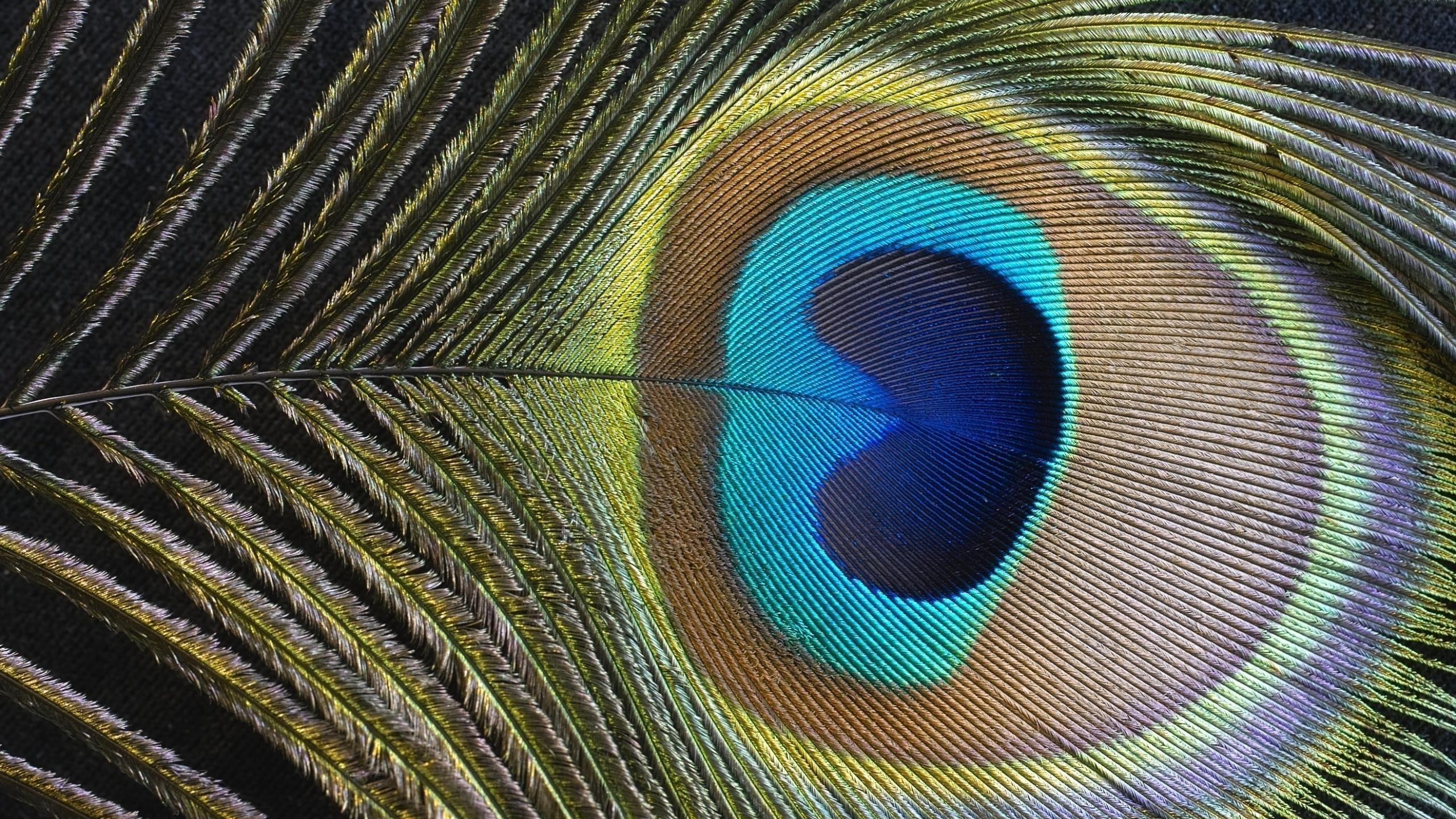 Peacock feather HD desktop wallpaper Widescreen High 2560x1440