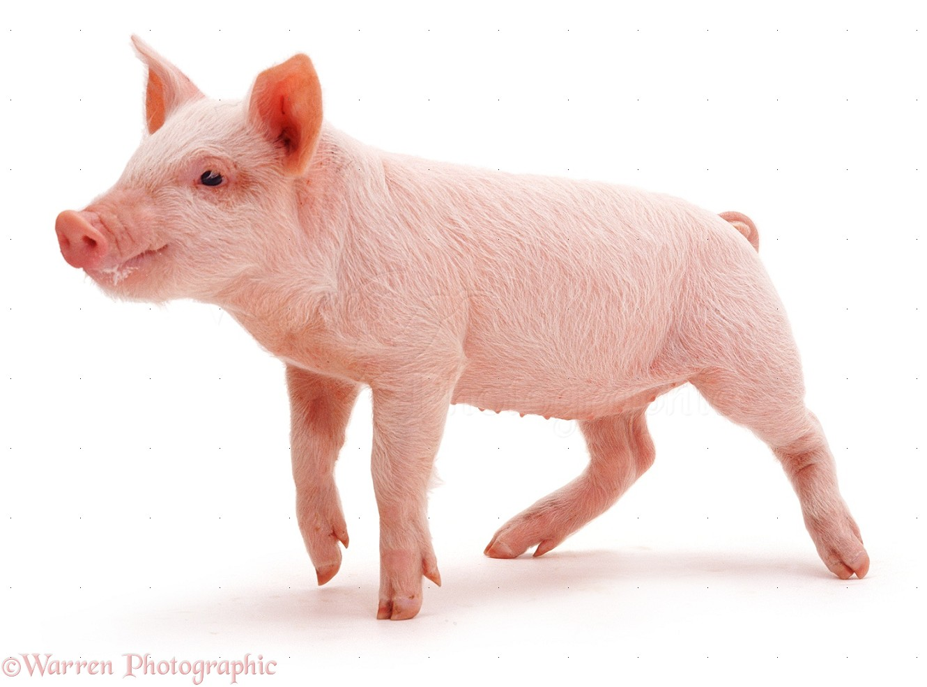 Image Gallery Real Piglet