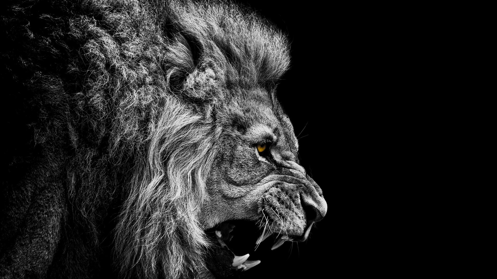 Lion Wallpapers Best Wallpapers 1920x1080