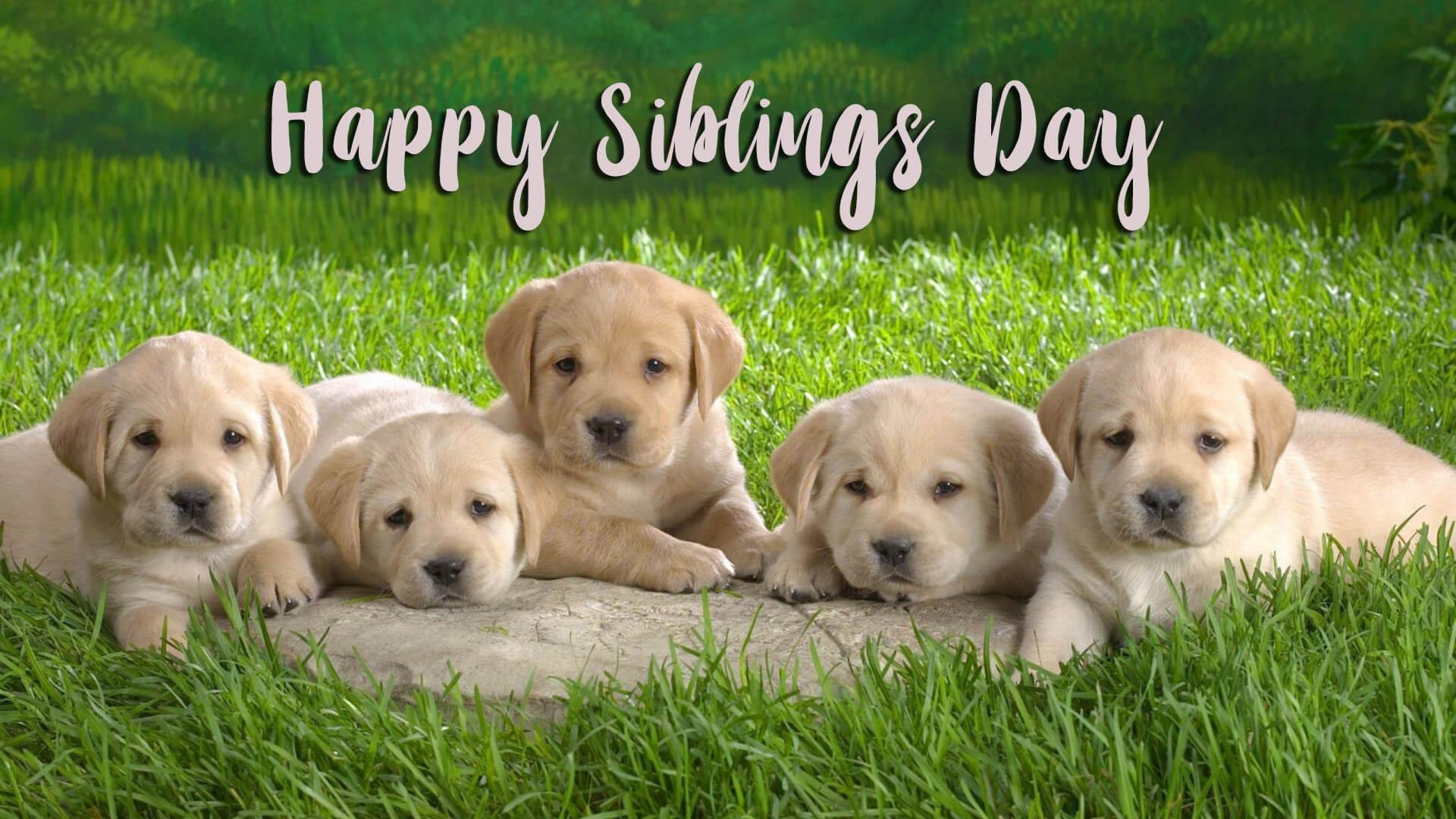 Happy National Siblings Day Five Puppy Labrador Dog Hd Wallpaper 1920x1080