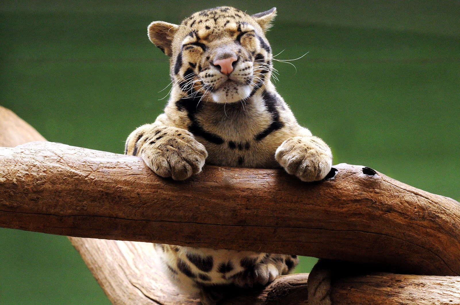 CLOUDED LEOPARD photos   wallpapers the fun bank 1600x1062