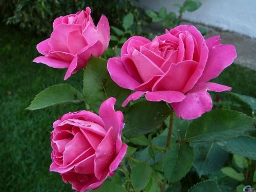 50 rose screensavers wallpaper on wallpapersafari - Rose screensaver ...