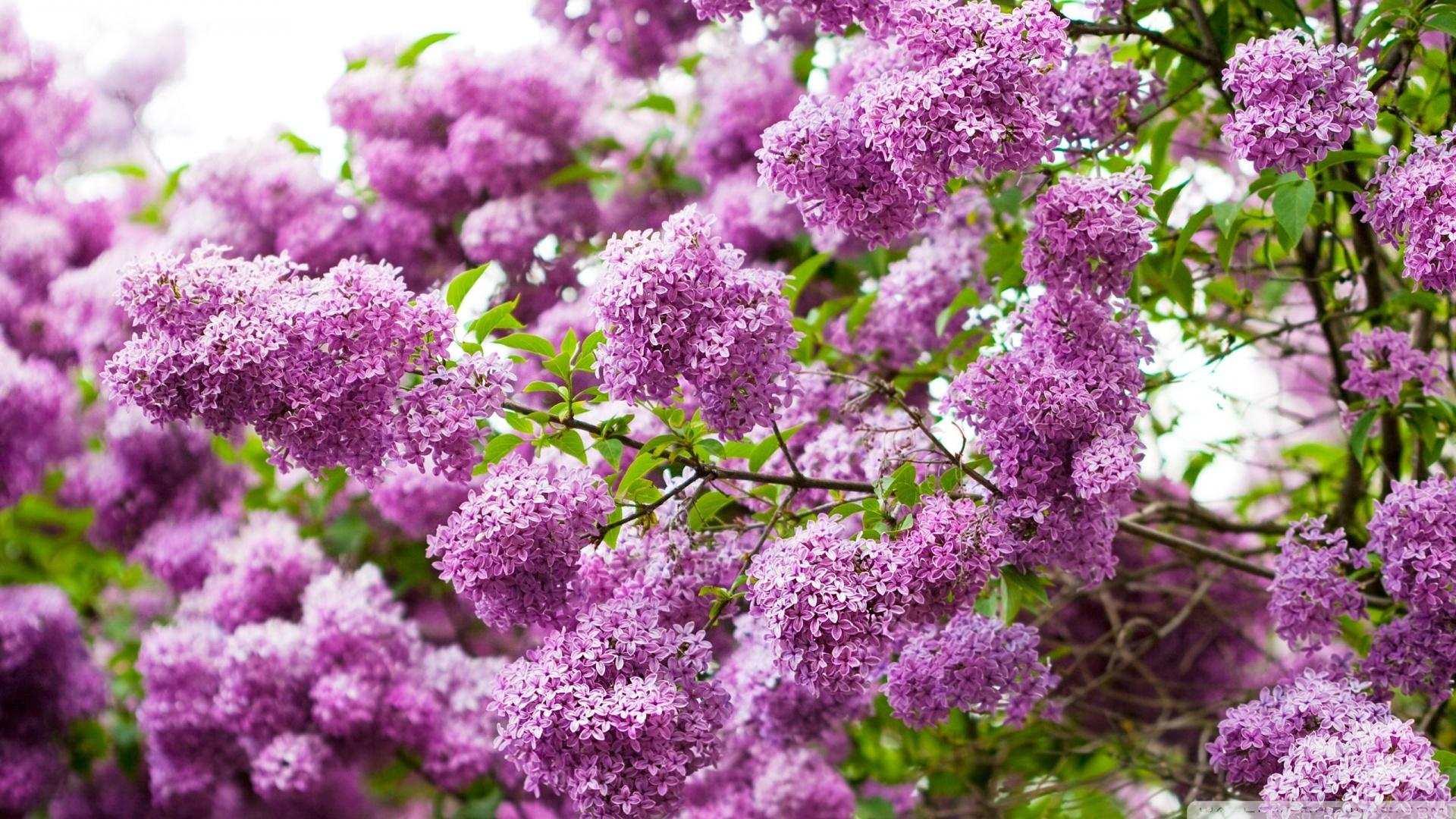Lilac Blossom Wallpaper 1920x1080 Lilac Blossom 1920x1080