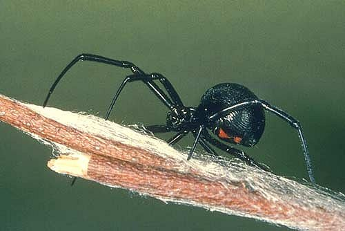 black widow spiders deadly arachnida fatal images pictures wallpapers 500x334