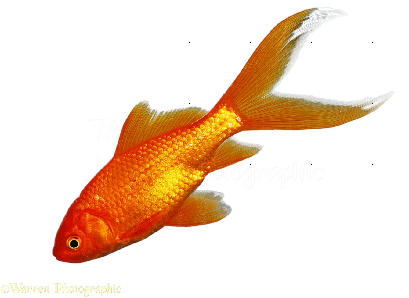 Goldfish Fish HD Walls Find Wallpapers 1340x978