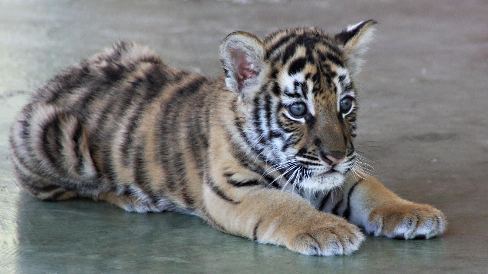 cute tiger baby 1600x900