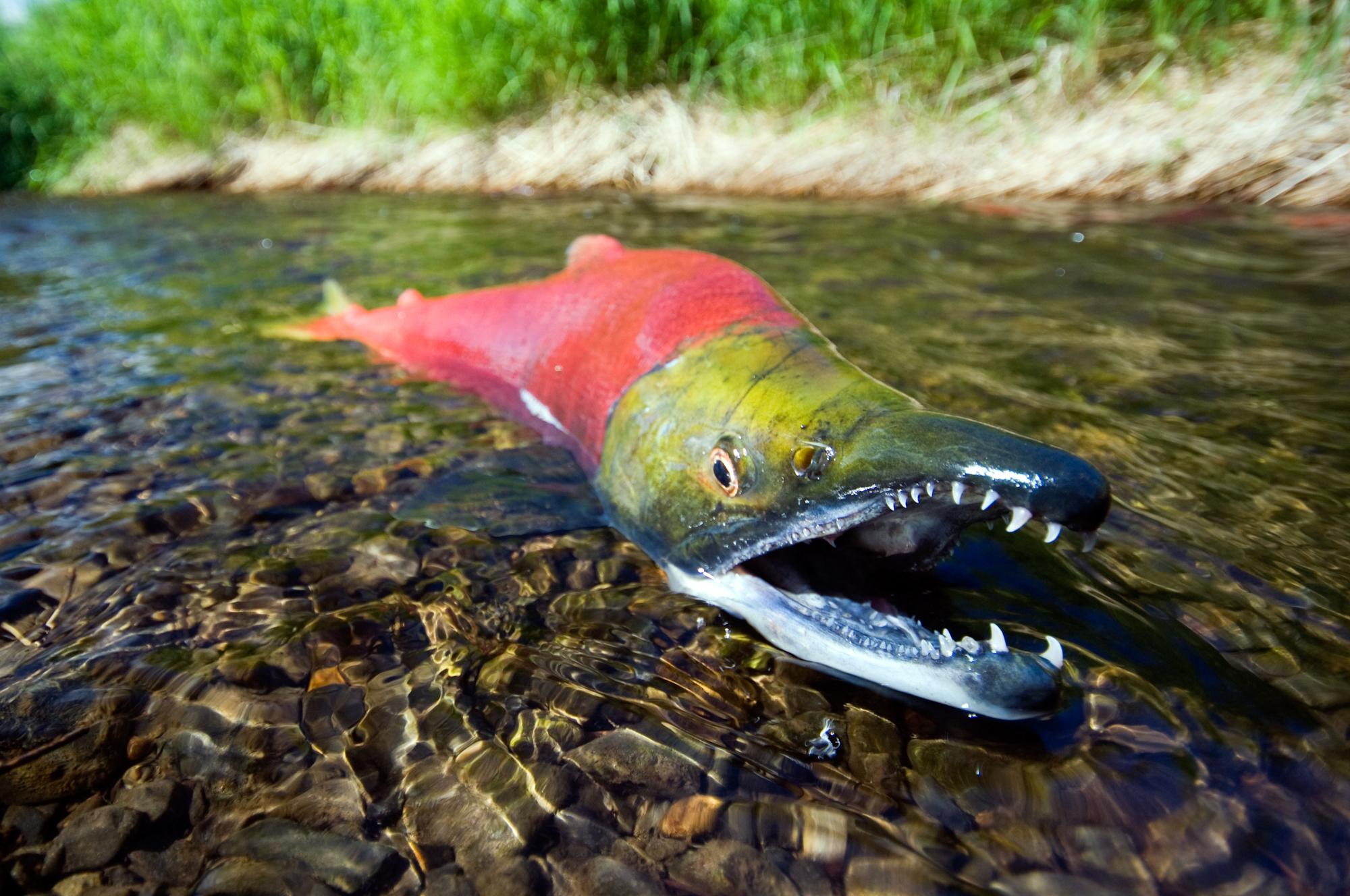 Salmon fish river r wallpaper 2000x1328 196055 WallpaperUP 2000x1328