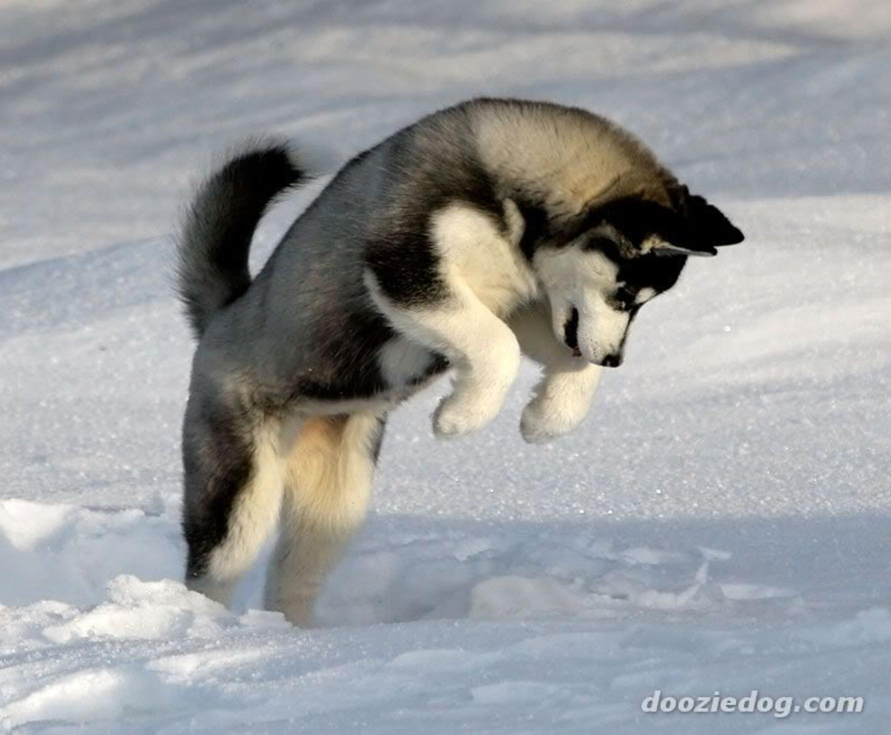 Siberian husky siberian husky winter dogs huskies Wallpapers 1782x1470