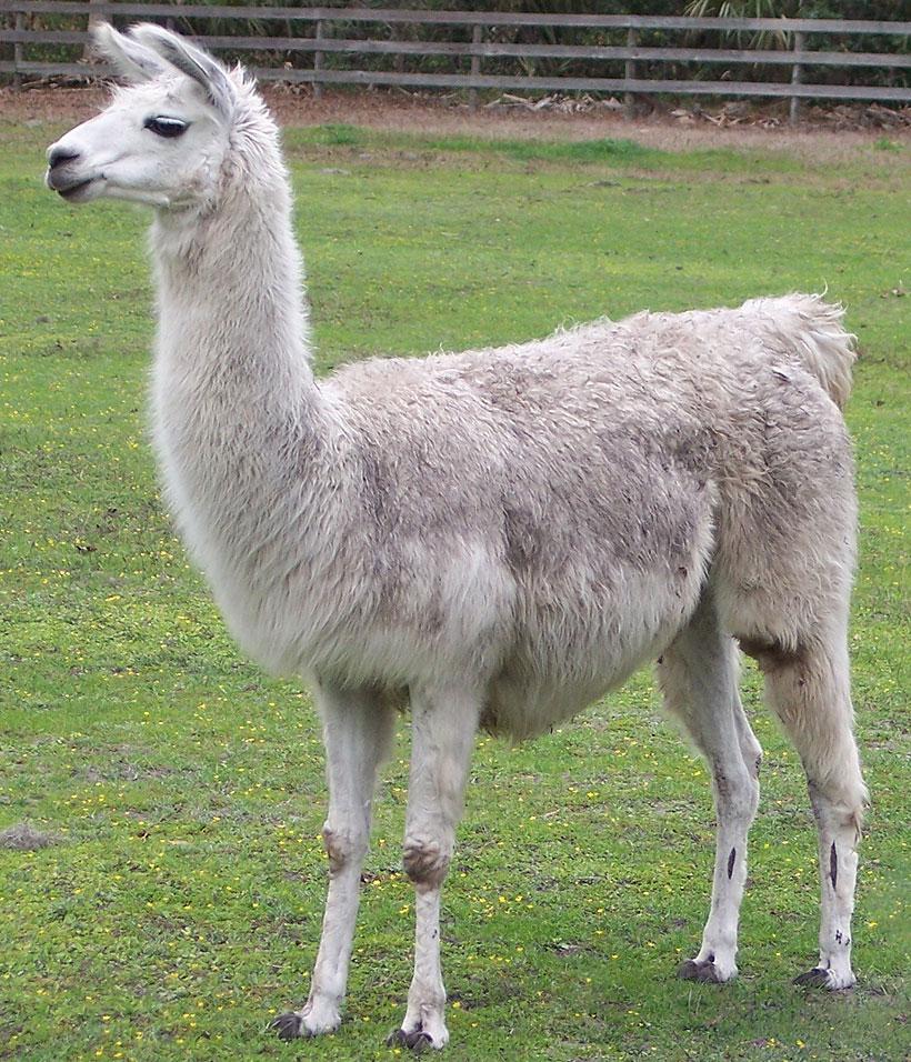 Llama Wallpaper: HD Llama Wallpaper