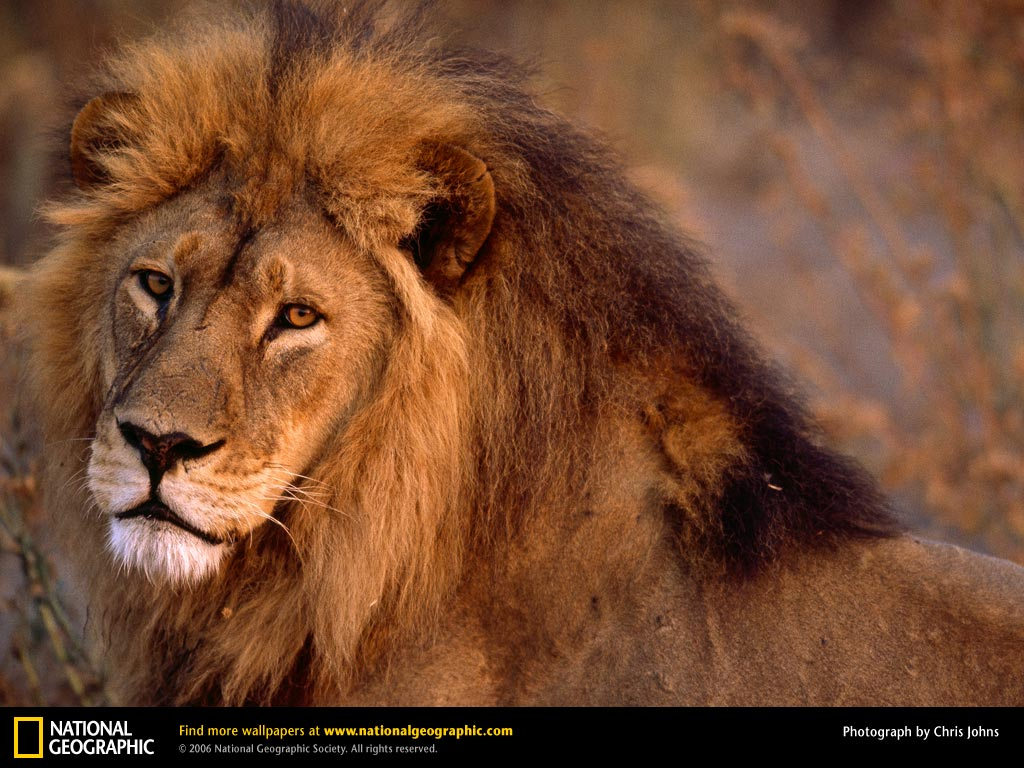 African Lion Picture African Lion Desktop Wallpaper Wallpapers 1024x768