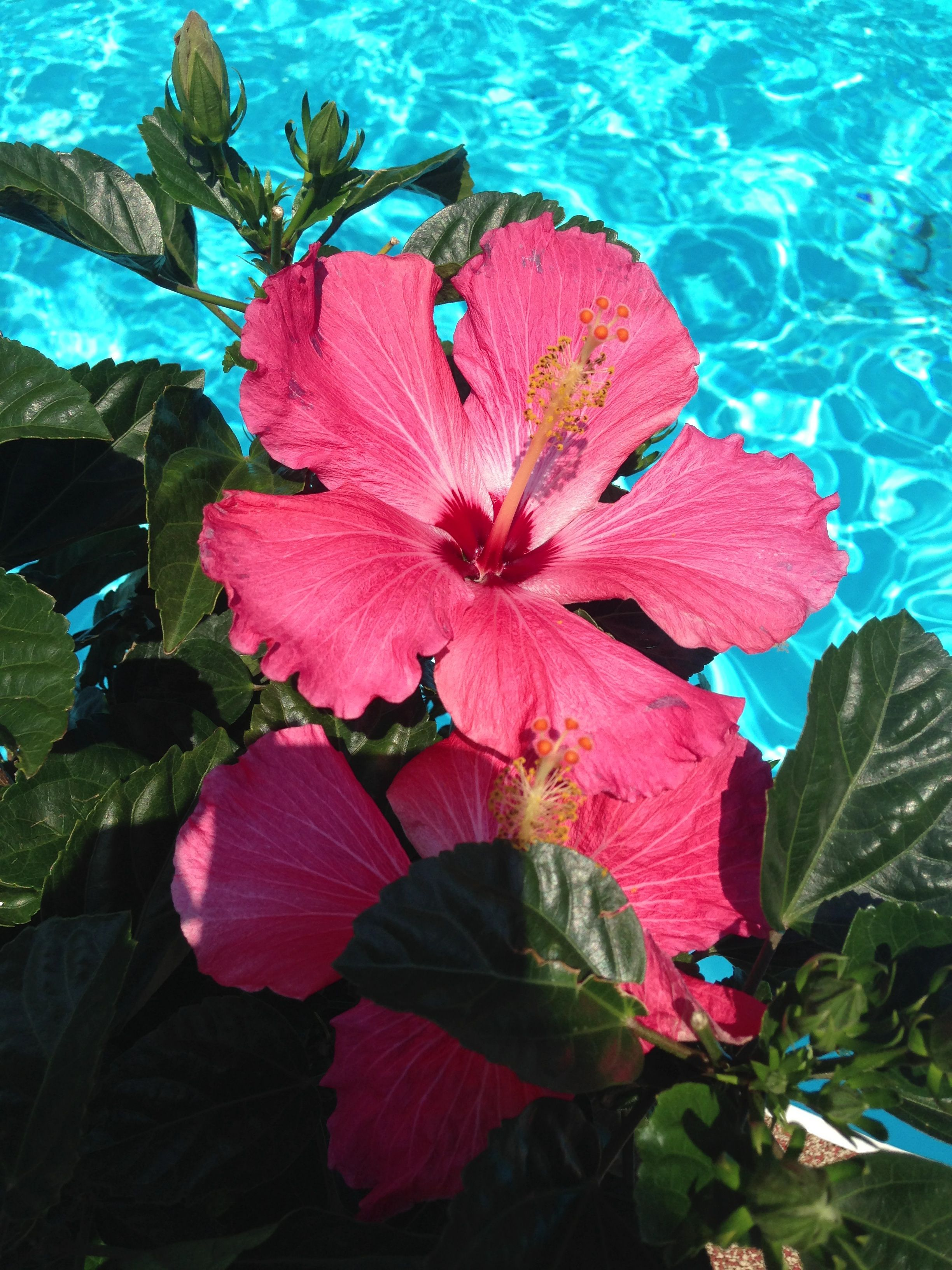 Beautiful Hibiscus by the Pool B l o o m in 2019 Flower 2448x3264
