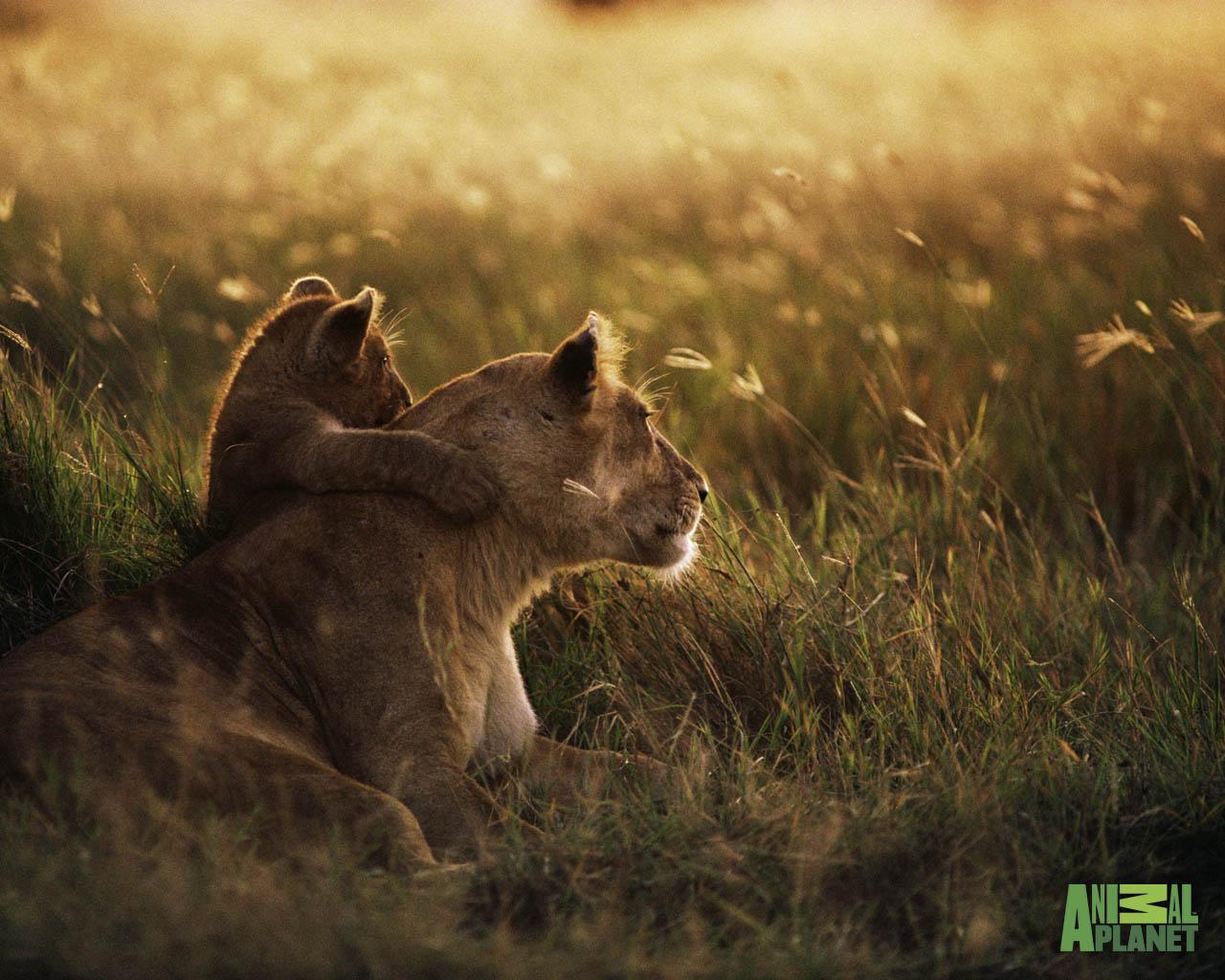 Animal Planet Wallpaper Download   lion cub 1280x1024